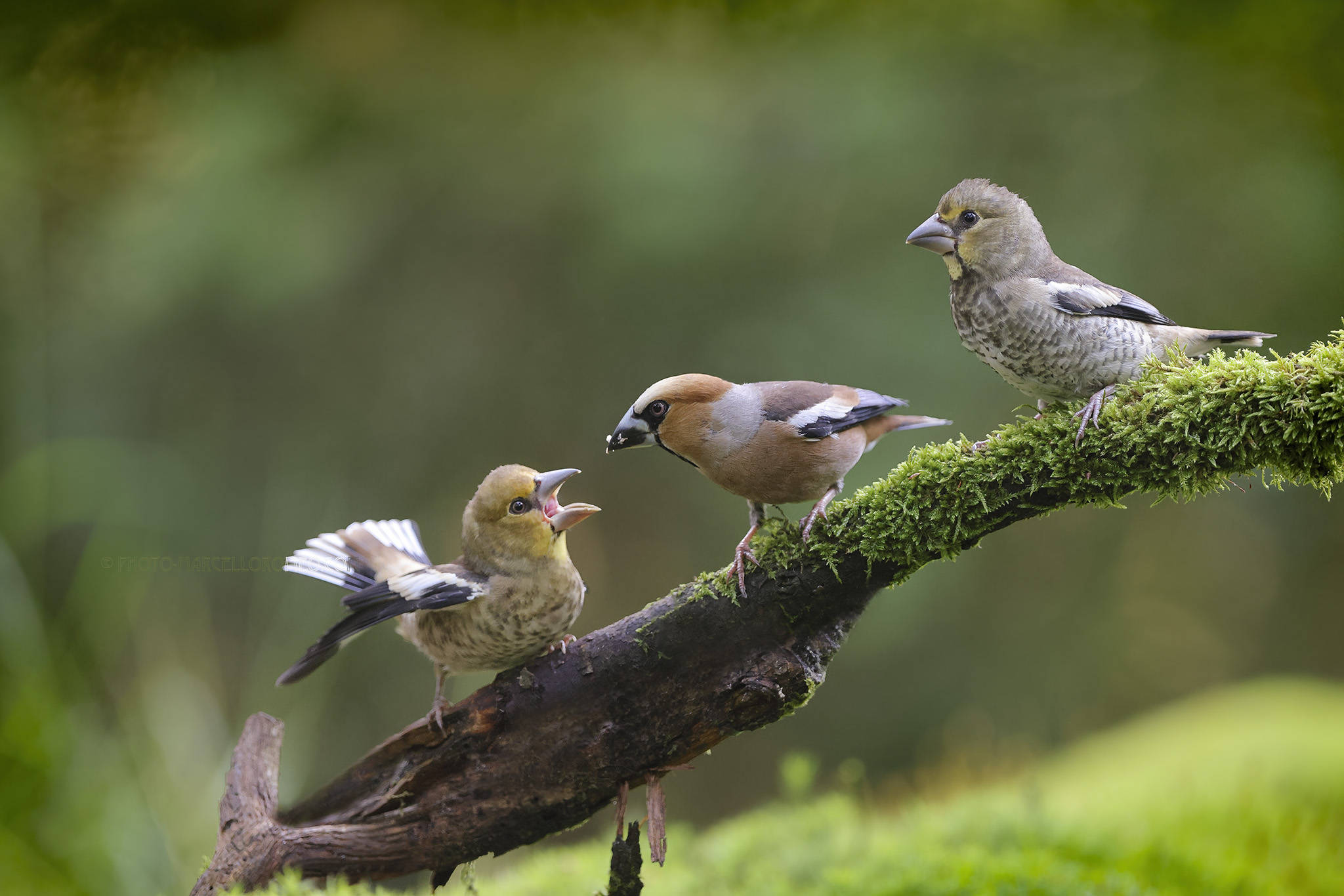 Appelvink; Hawfinch; Coccothraustes Coccothraustes
