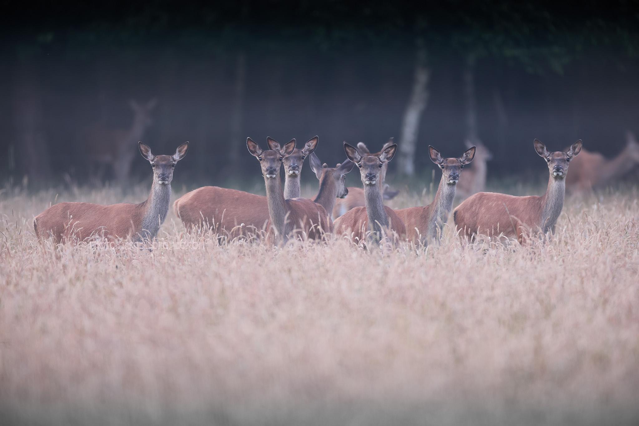 Edelhert; Red Deer; Cervus Elaphus