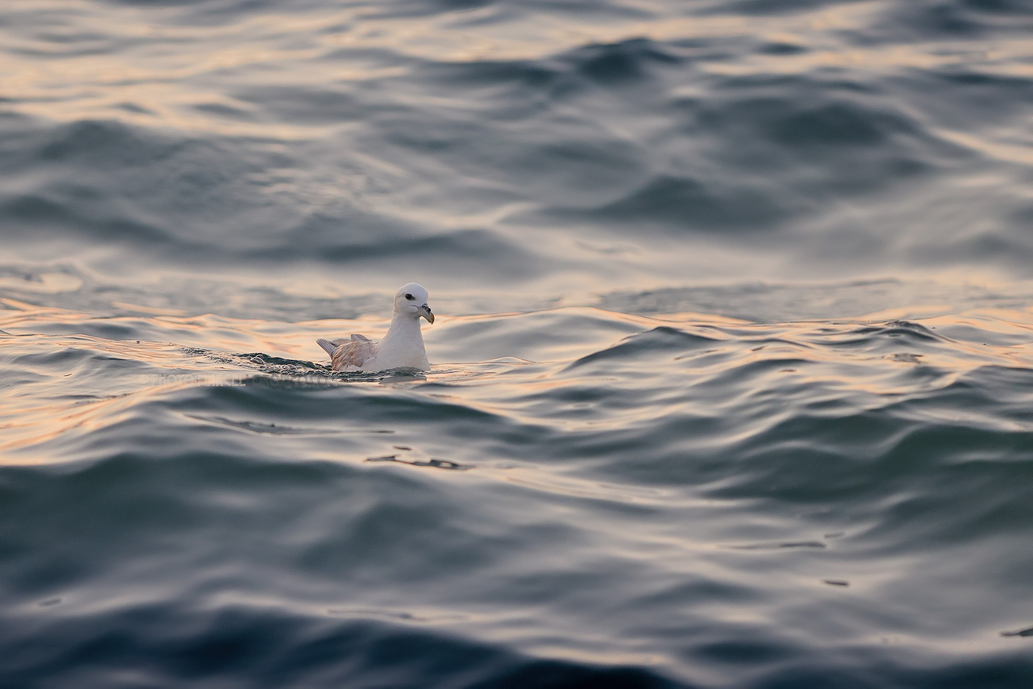 Noordse Stormvogel; Northern Fulmar; Fulmarus glacialis