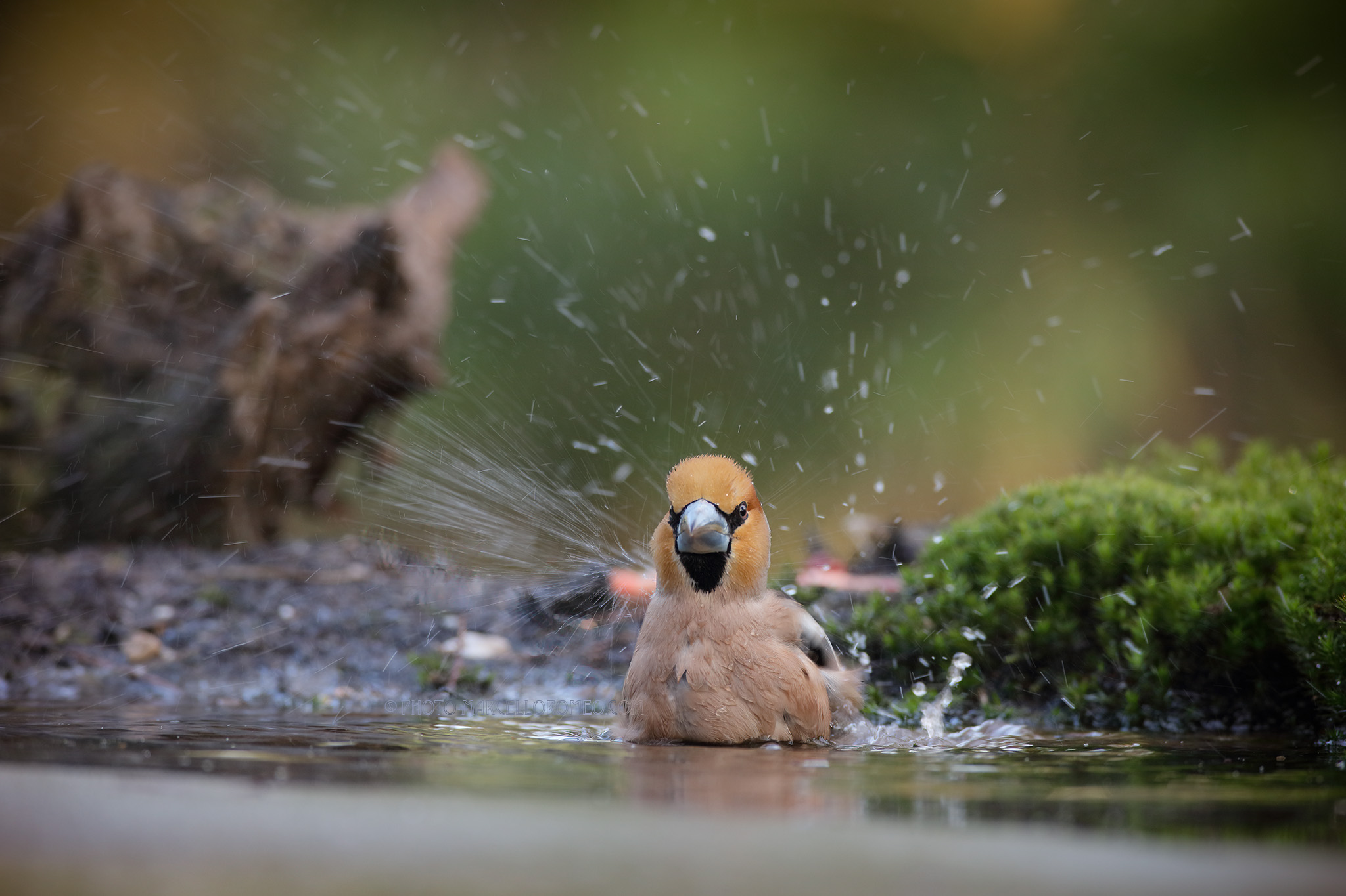 Appelvink; Haawfinch; Coccothraustes Coccothraustes