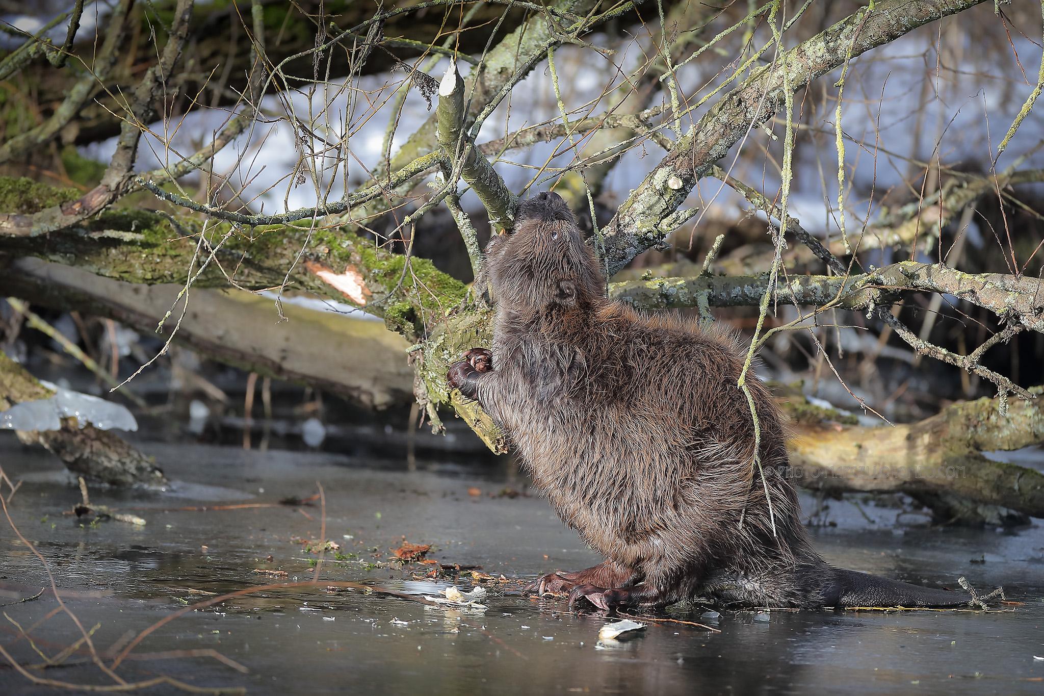 Bever; Eurasian Beaver; Castor Fiber