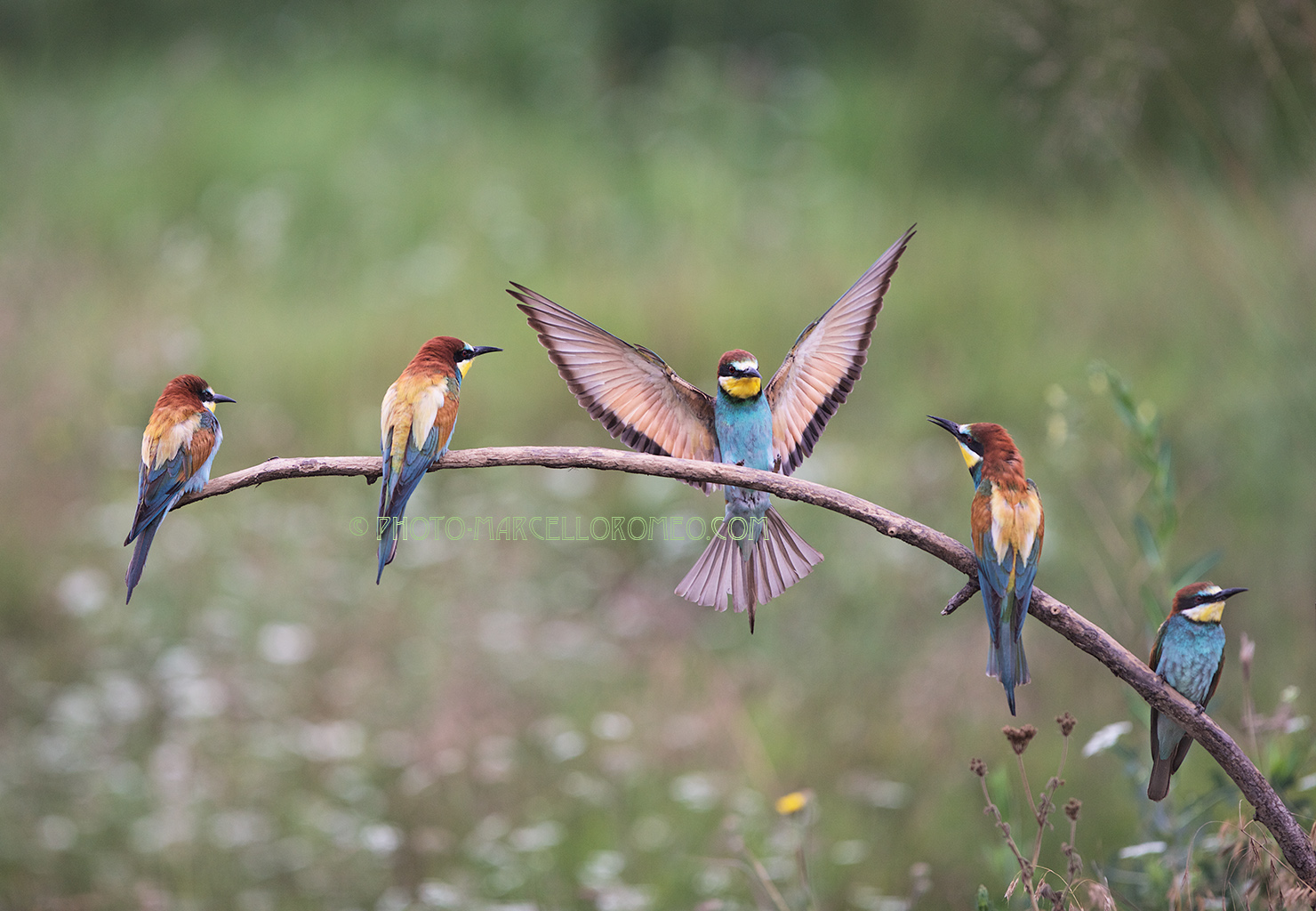 Bee-eaters resting on a branch