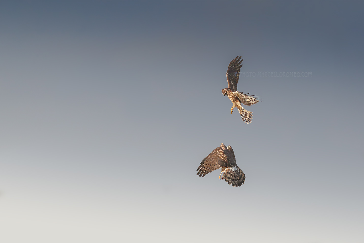 Blauwe Kiekendief; Hen Harrier; Cricus Cyaneus