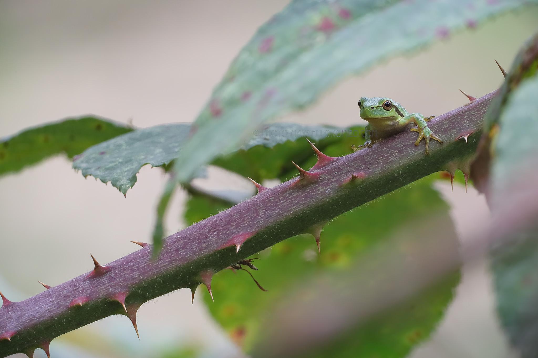 Boomkikker; European Tree Frog; Hyla Arborea