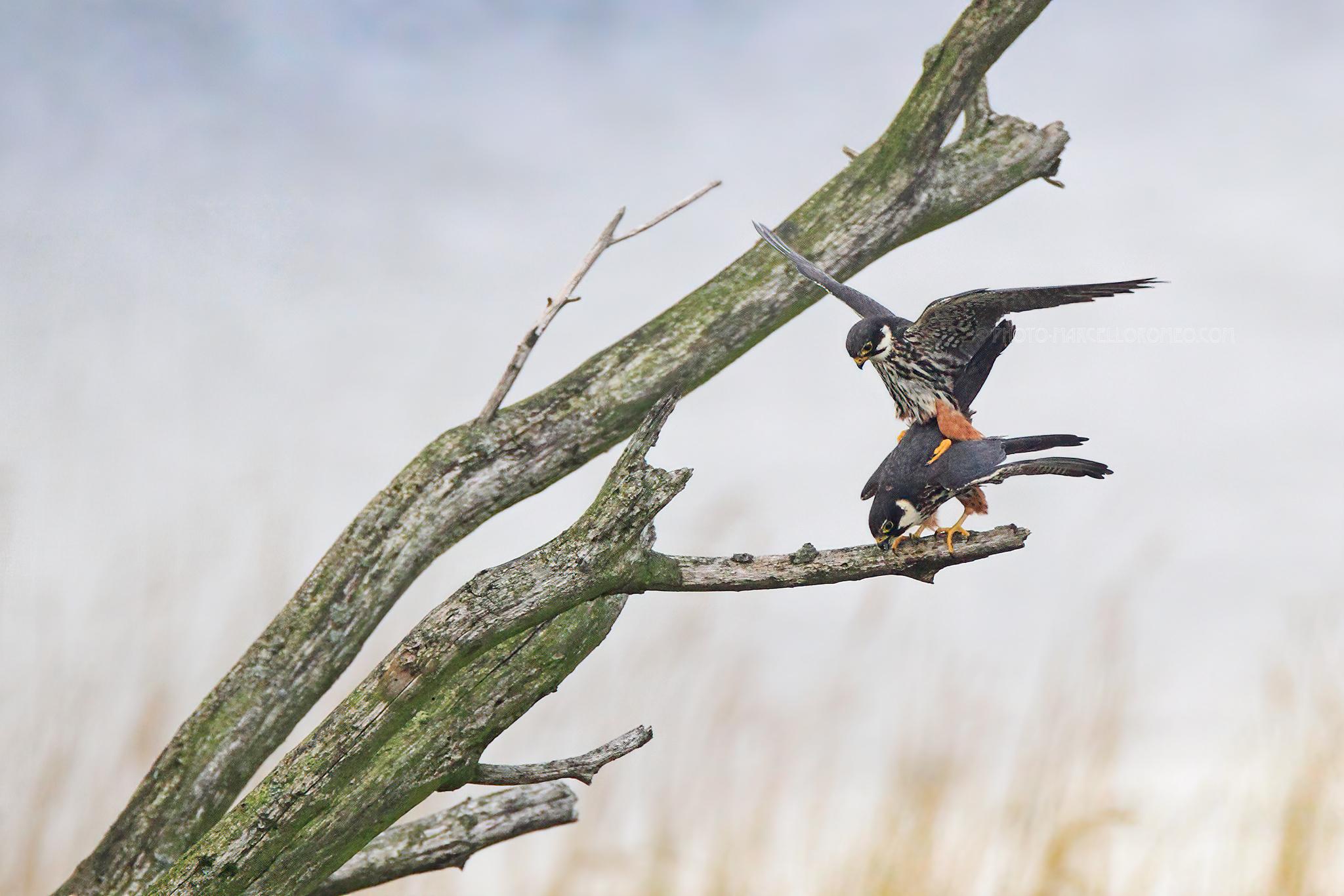 Boomvalk; Eurasian Hobby; Falco Subbuteo