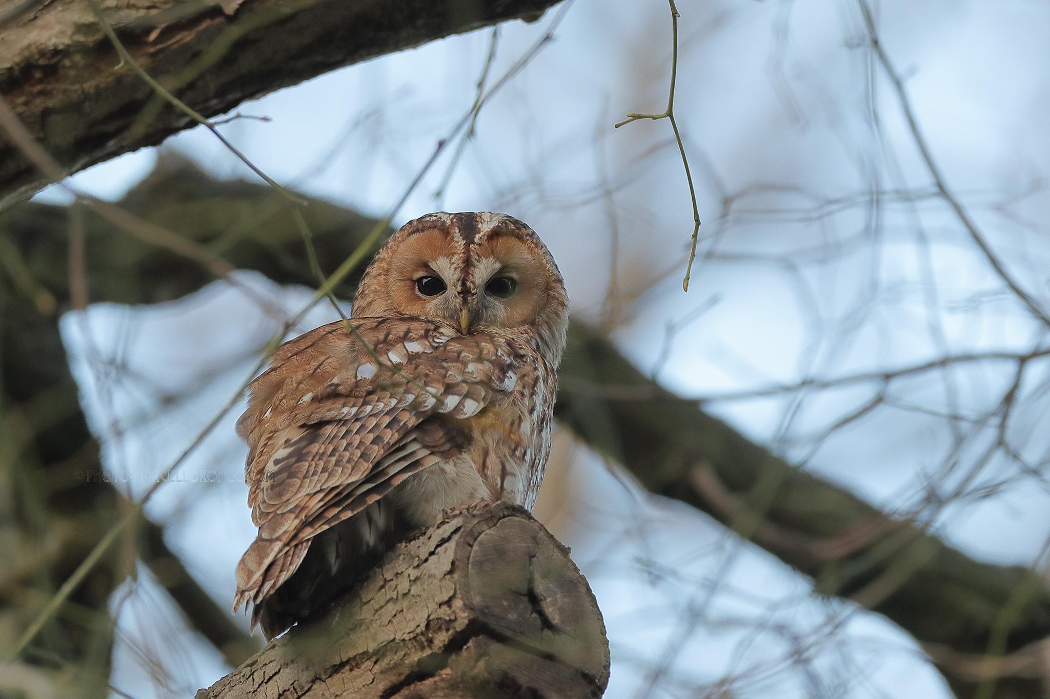 Bosuil; Tawny Owl; Strix Aluco