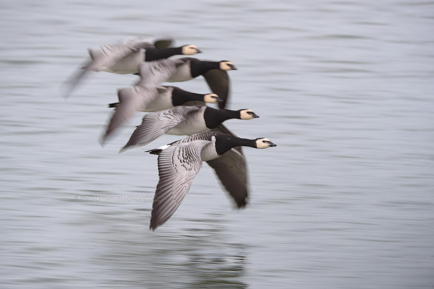 Brandgans; Barnacle Goose; Branta Leucopsis