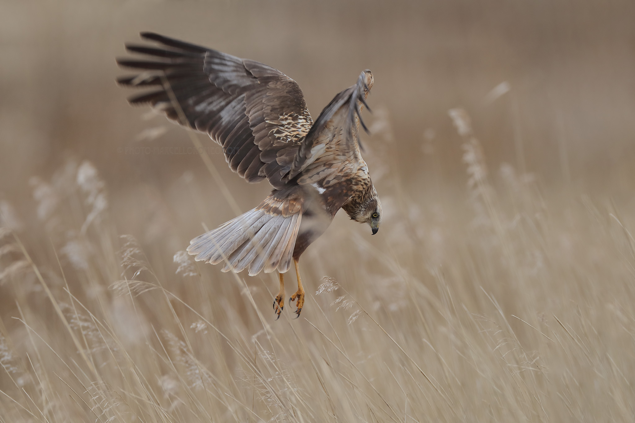 Bruine Kiekendief; Marsh Harrier; Circus Aeruginosus
