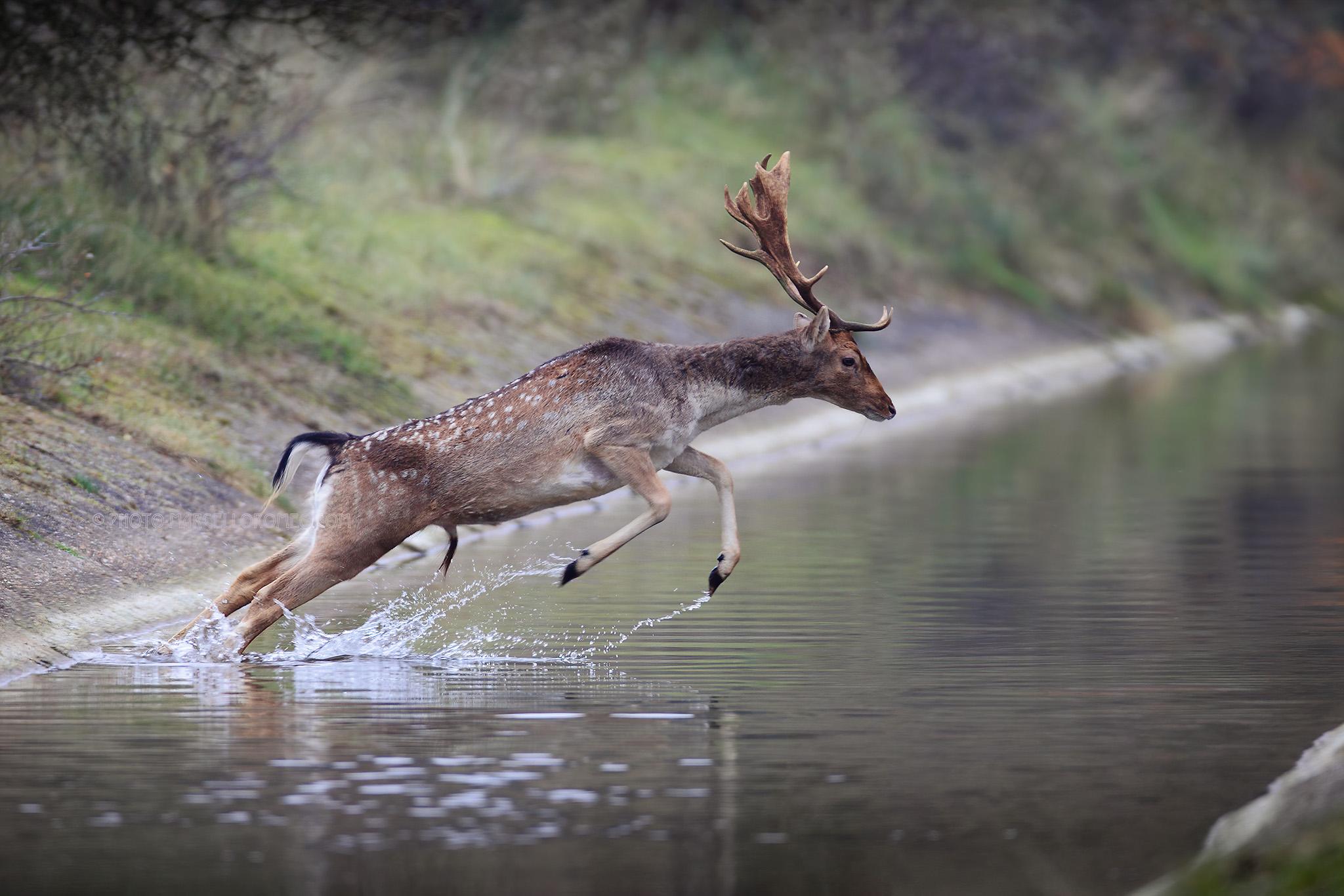 Damhert; Fallow Deer; Dama Dama