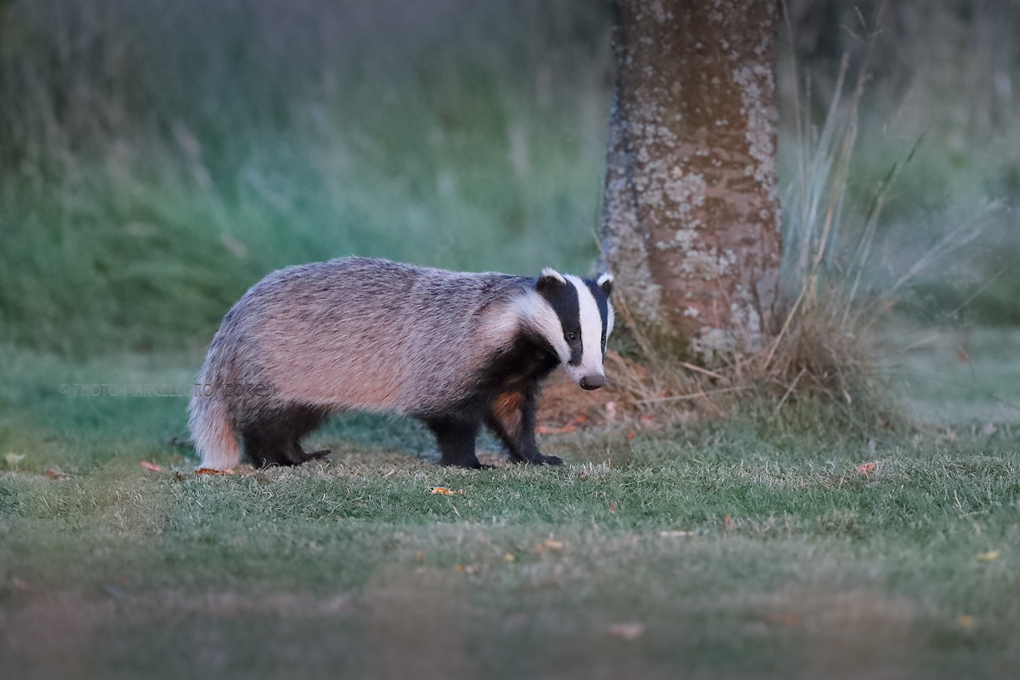 Das; European Badger; Meles Meles