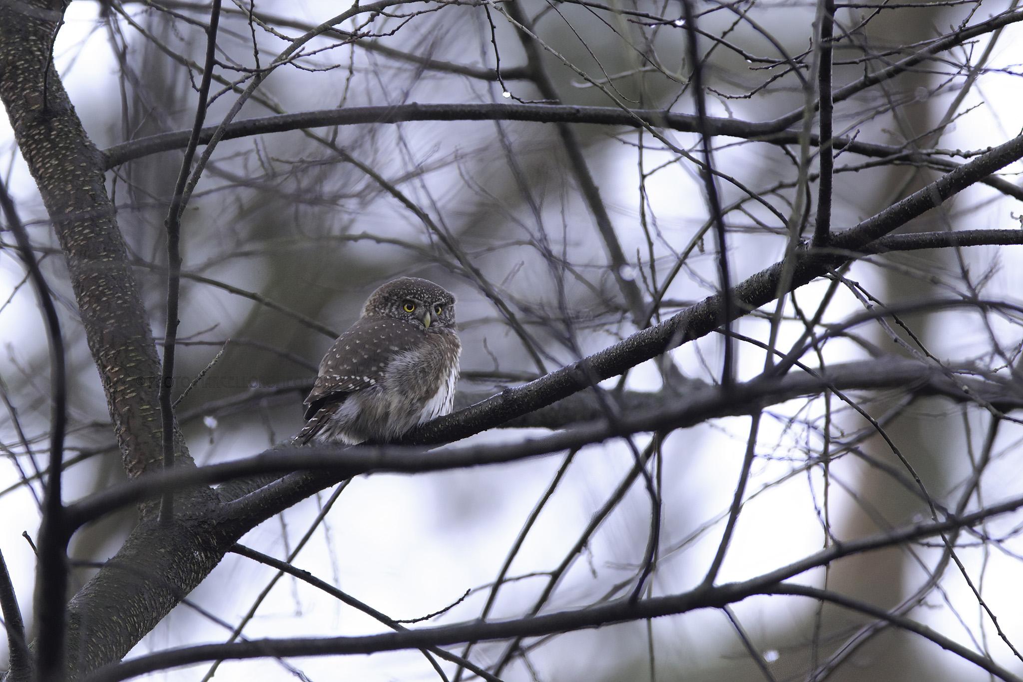 Dwerguil; Eurasian Pygmy Owl; Glaucidium Passerinum