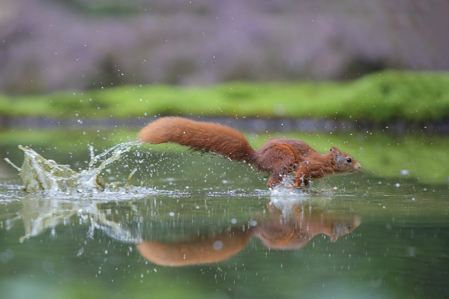 Eekhoorn; Red Squirrel; Sciurus Vulgaris