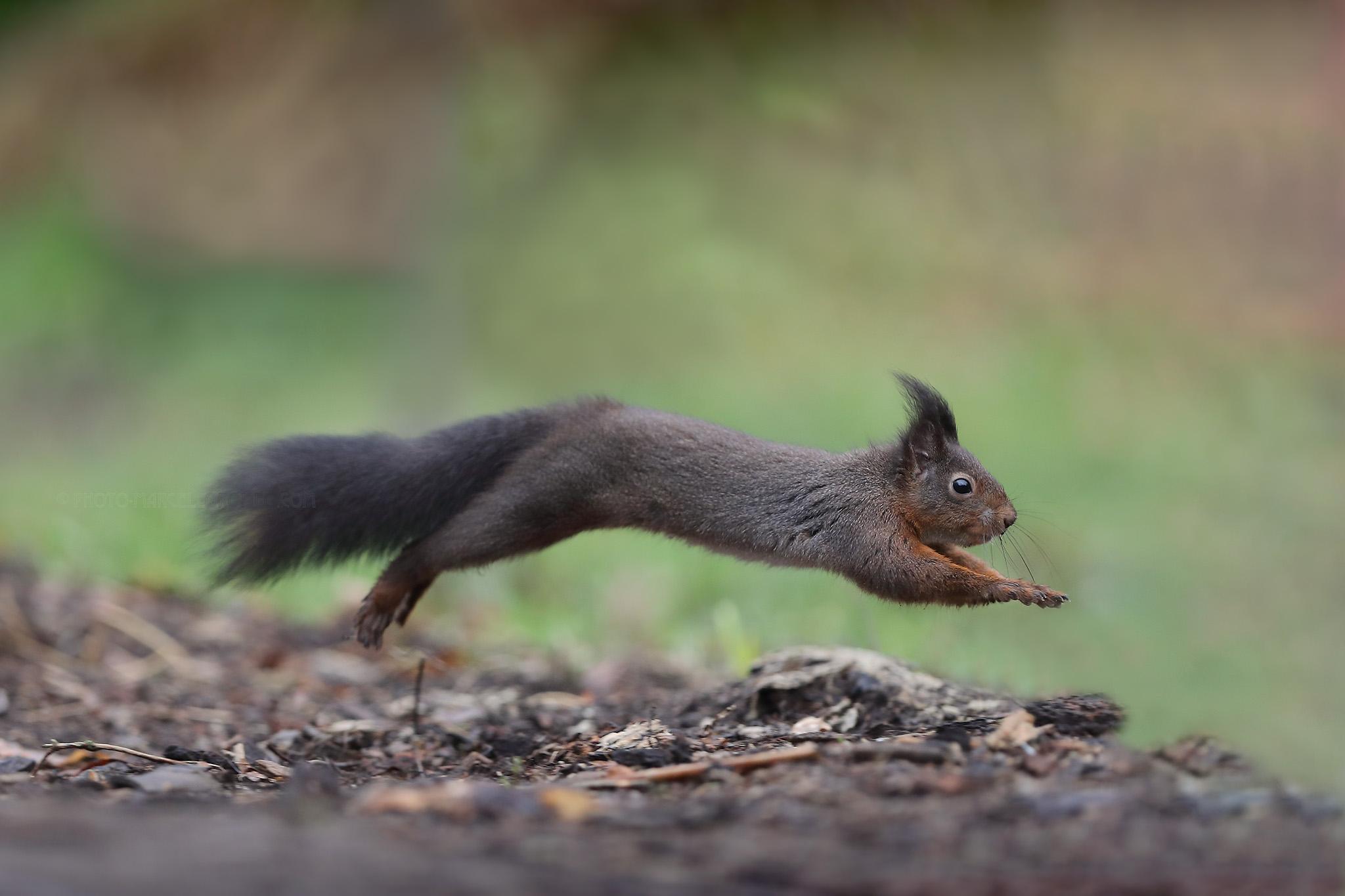 Eekhoorn; Red Squirrel; Sciurus Vulgaris