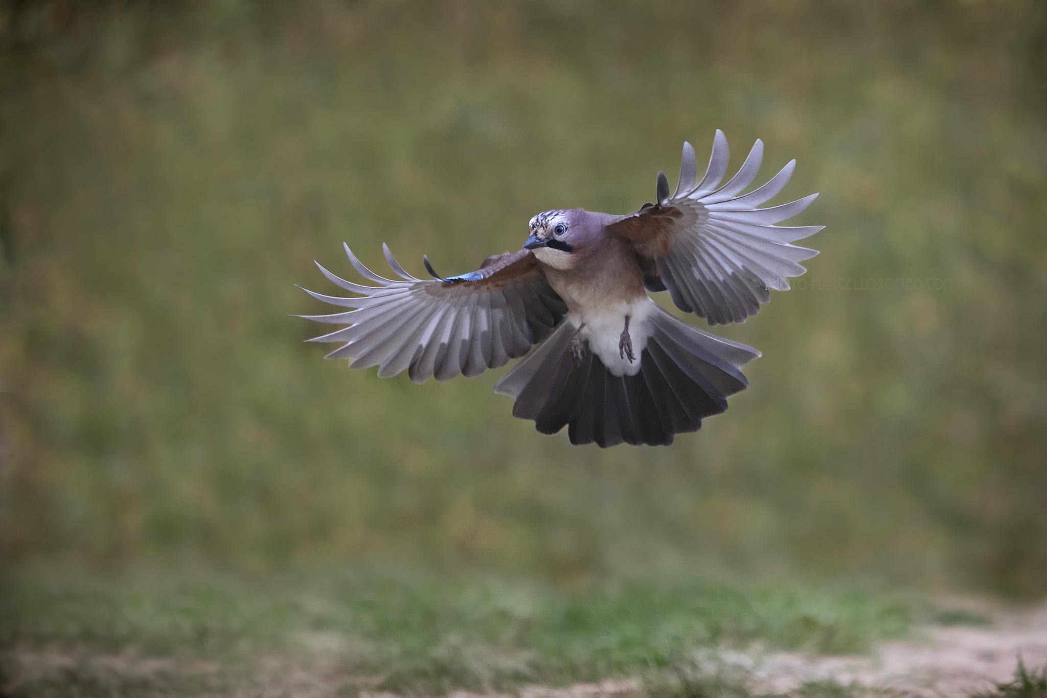 Gaai; Eurasian Jay; Garrulus glandarius