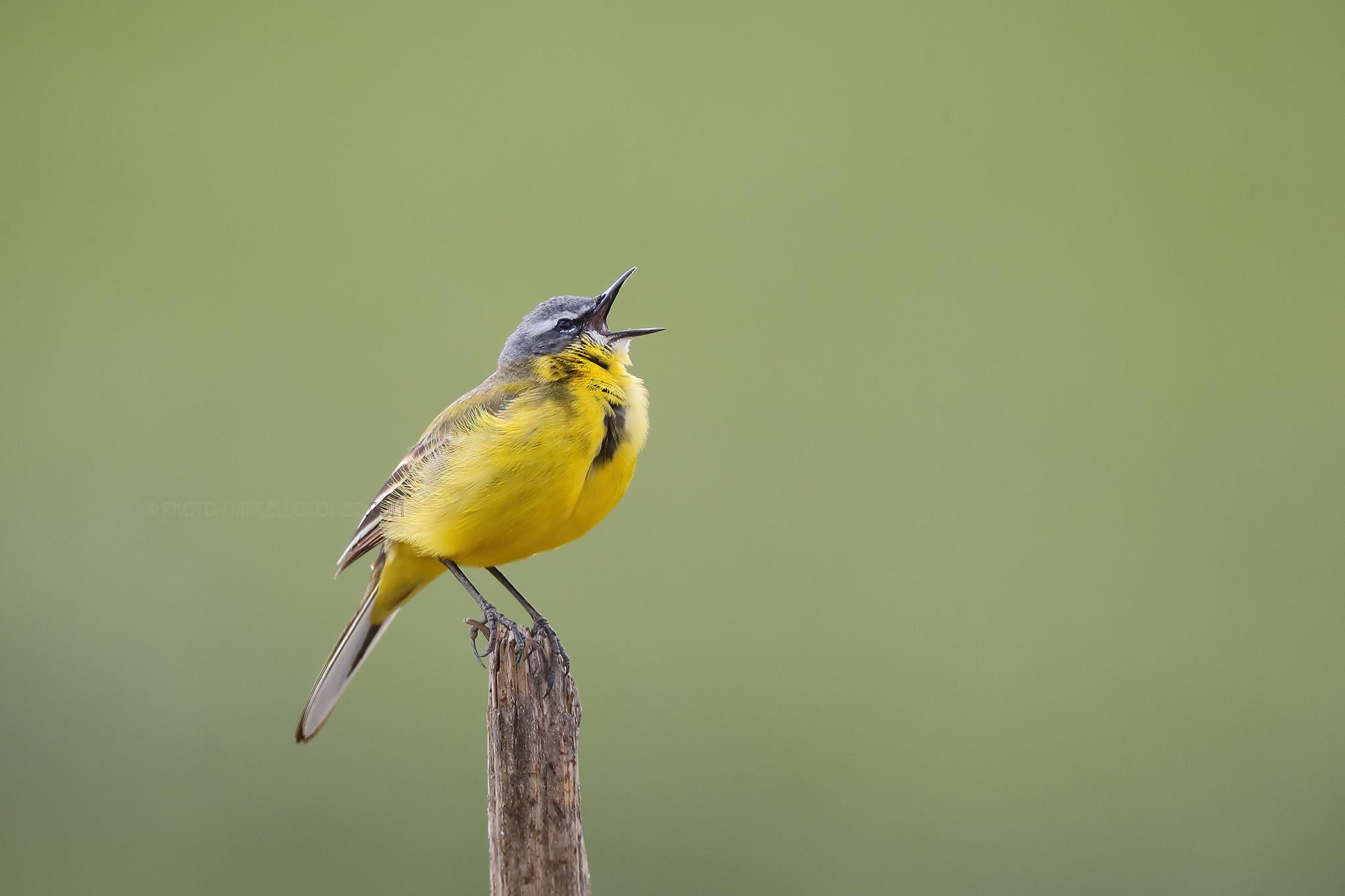 Gele Kwikstaart; Western Yellow Wagtail; Motacilla Flava