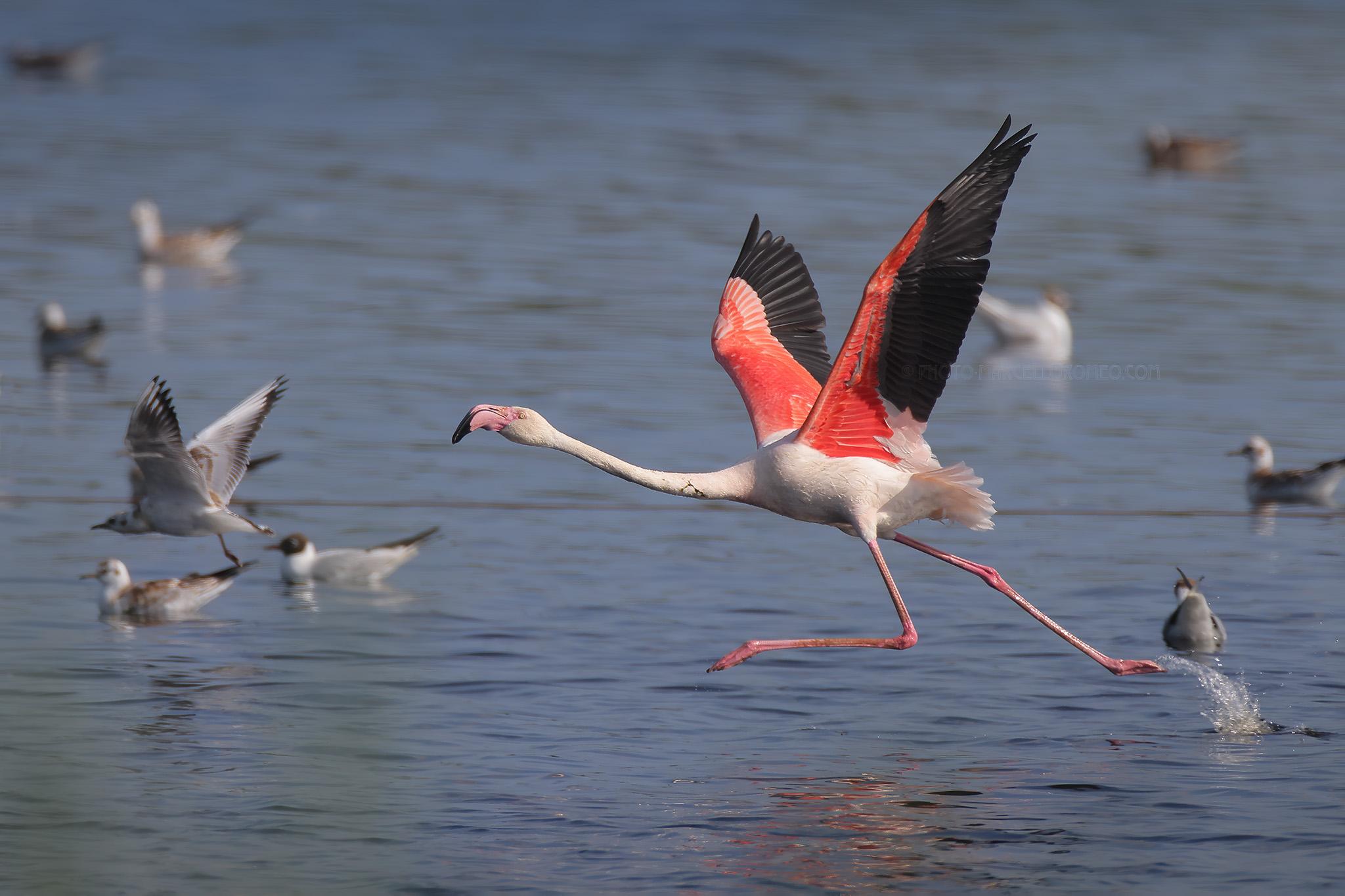 Gewone Flamingo; Greater Flamingo; Phoenicopterus Roseus