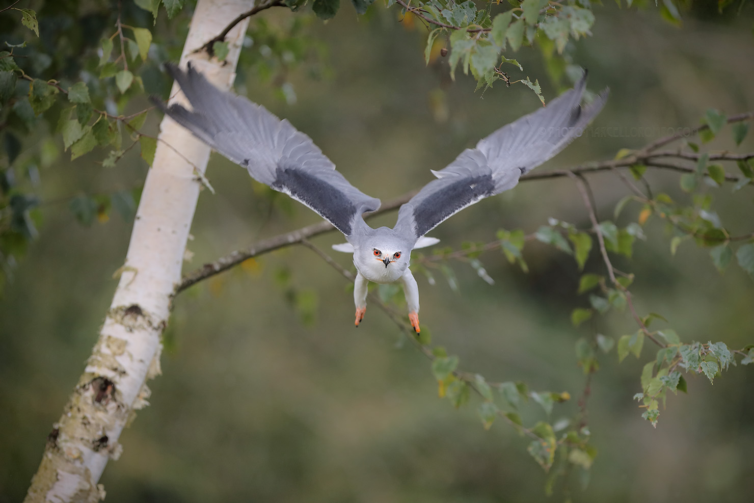 Grijze Wouw; Black-winged Kite; Elanus Caeruleus