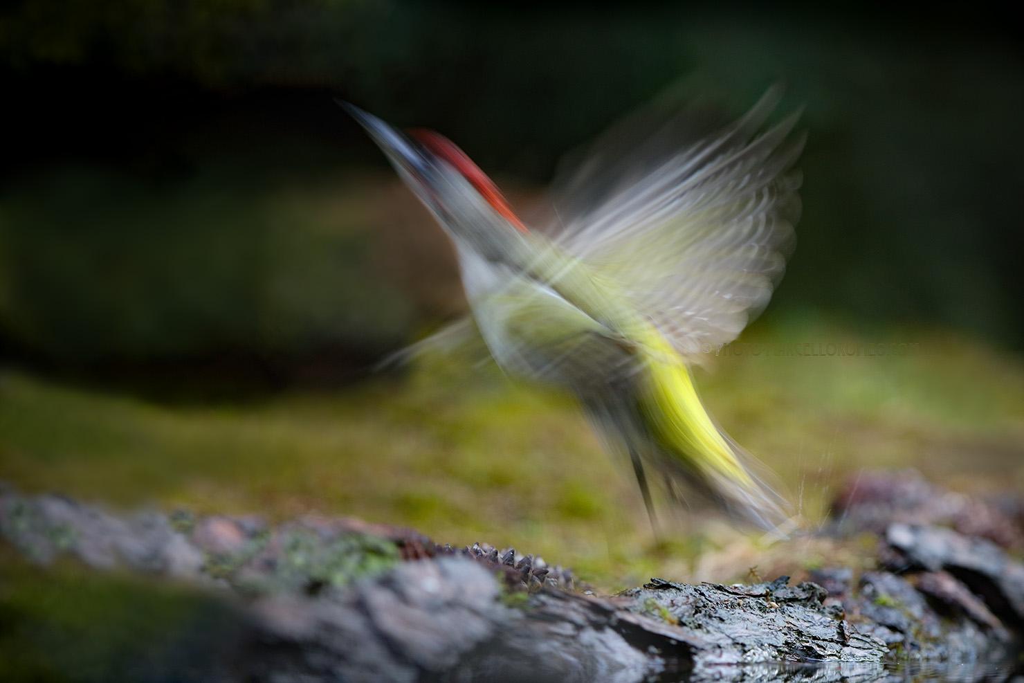 Groene Specht; European Green Woodpecker; Picus Viridis