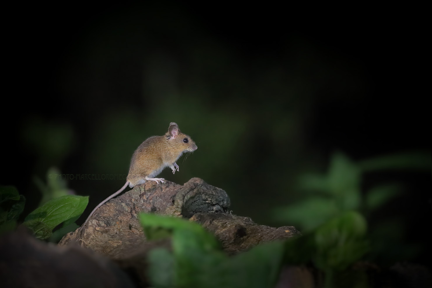 Grote Bosmuis; Yellow-necked Mouse; Apodemus Flavicollis