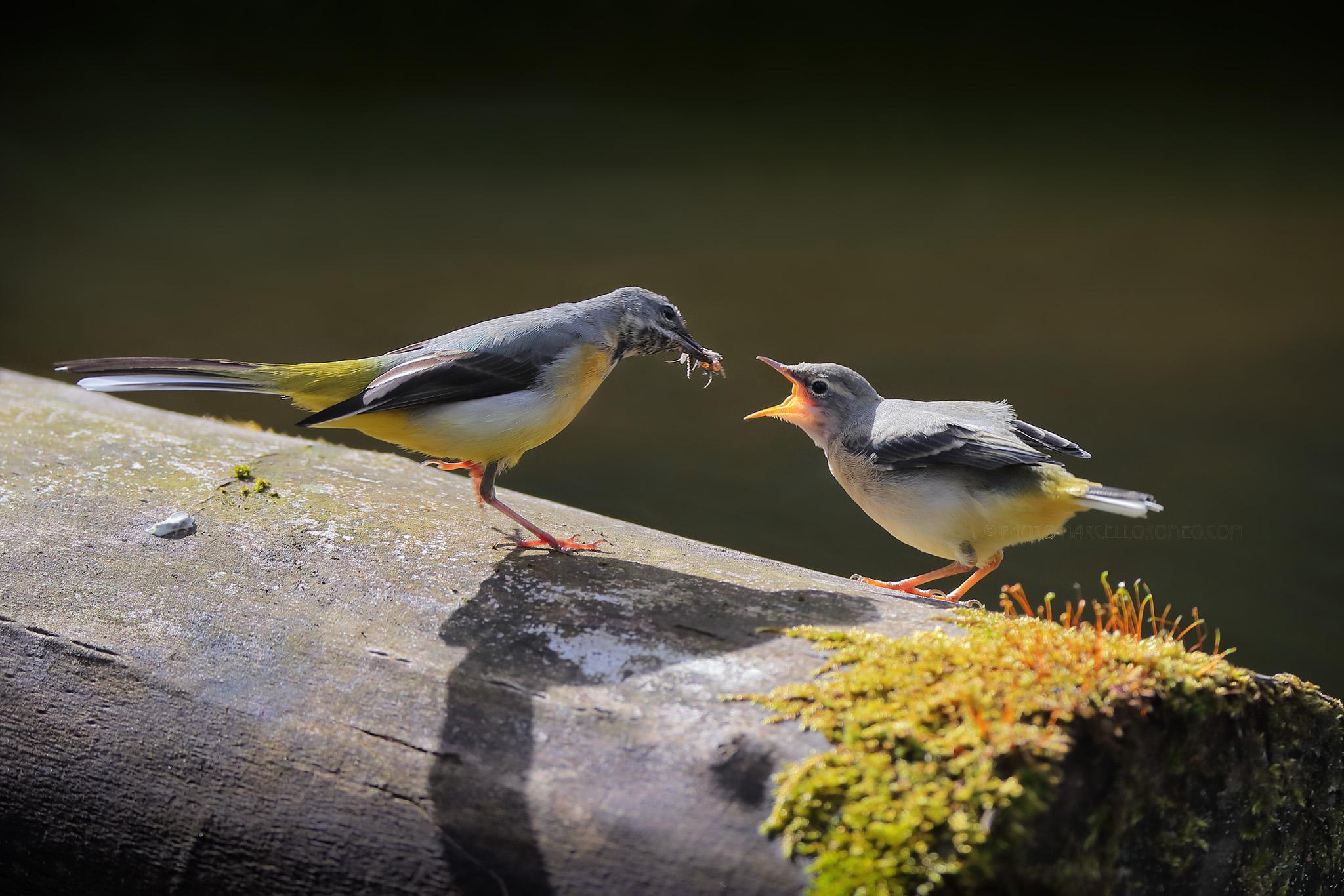 Grote Gele Kwikstaart; Grey Wagtail; Motacilla Cinerea