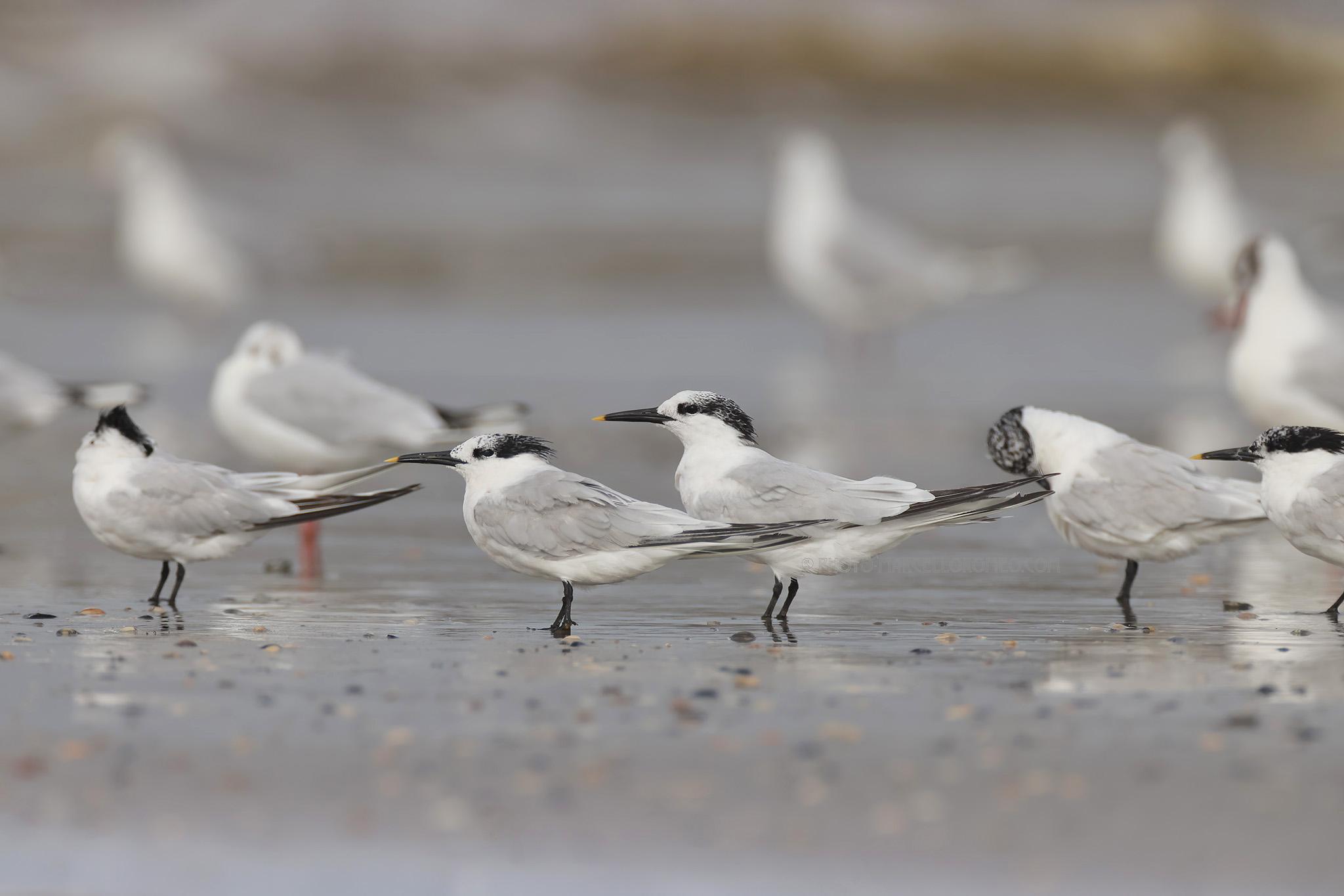 Grote Stern; Sandwich Tern; Thalasseus Sandvicensis