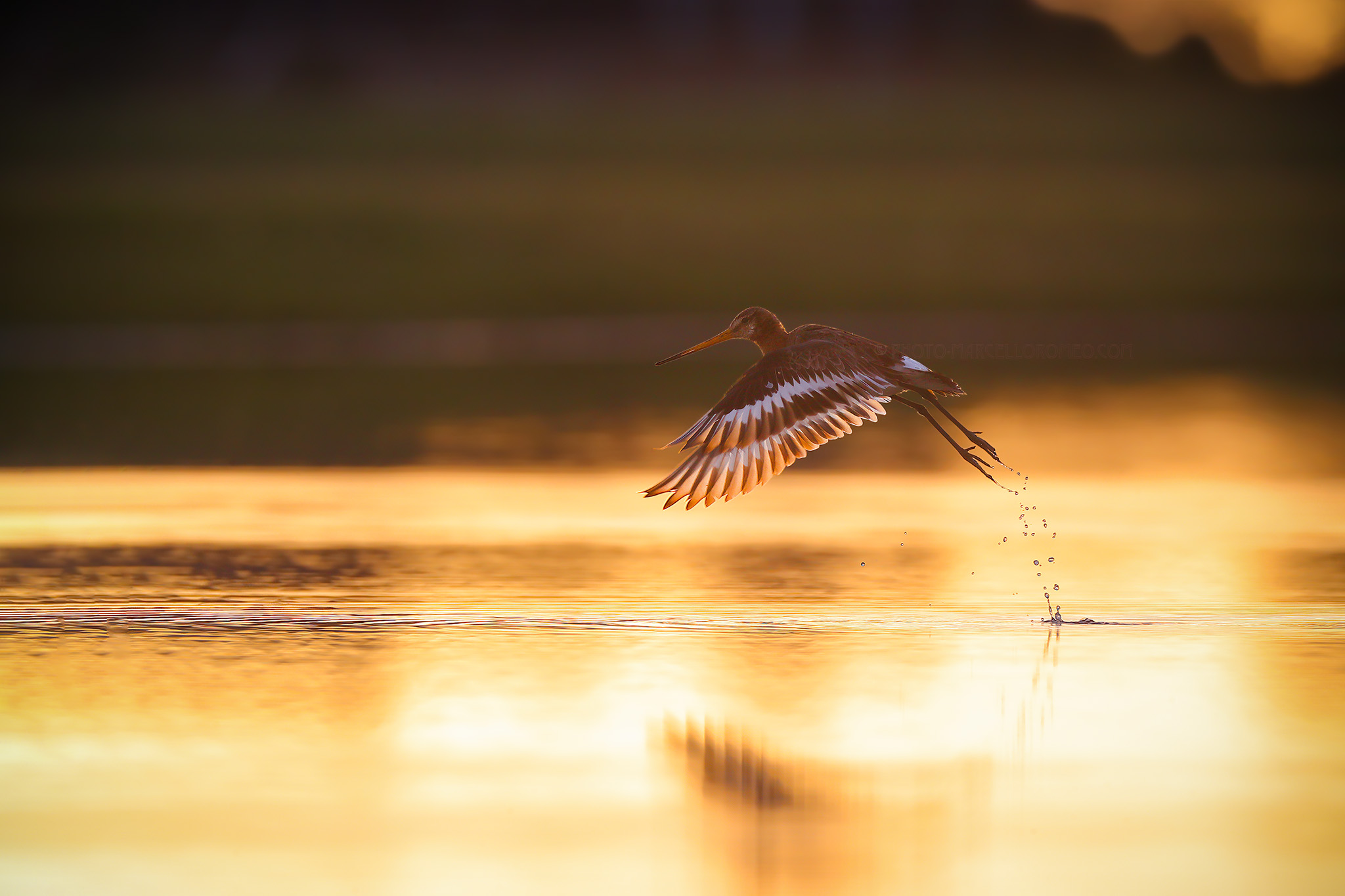 Grutto; Black-tailed Godwit; Limosa Limosa
