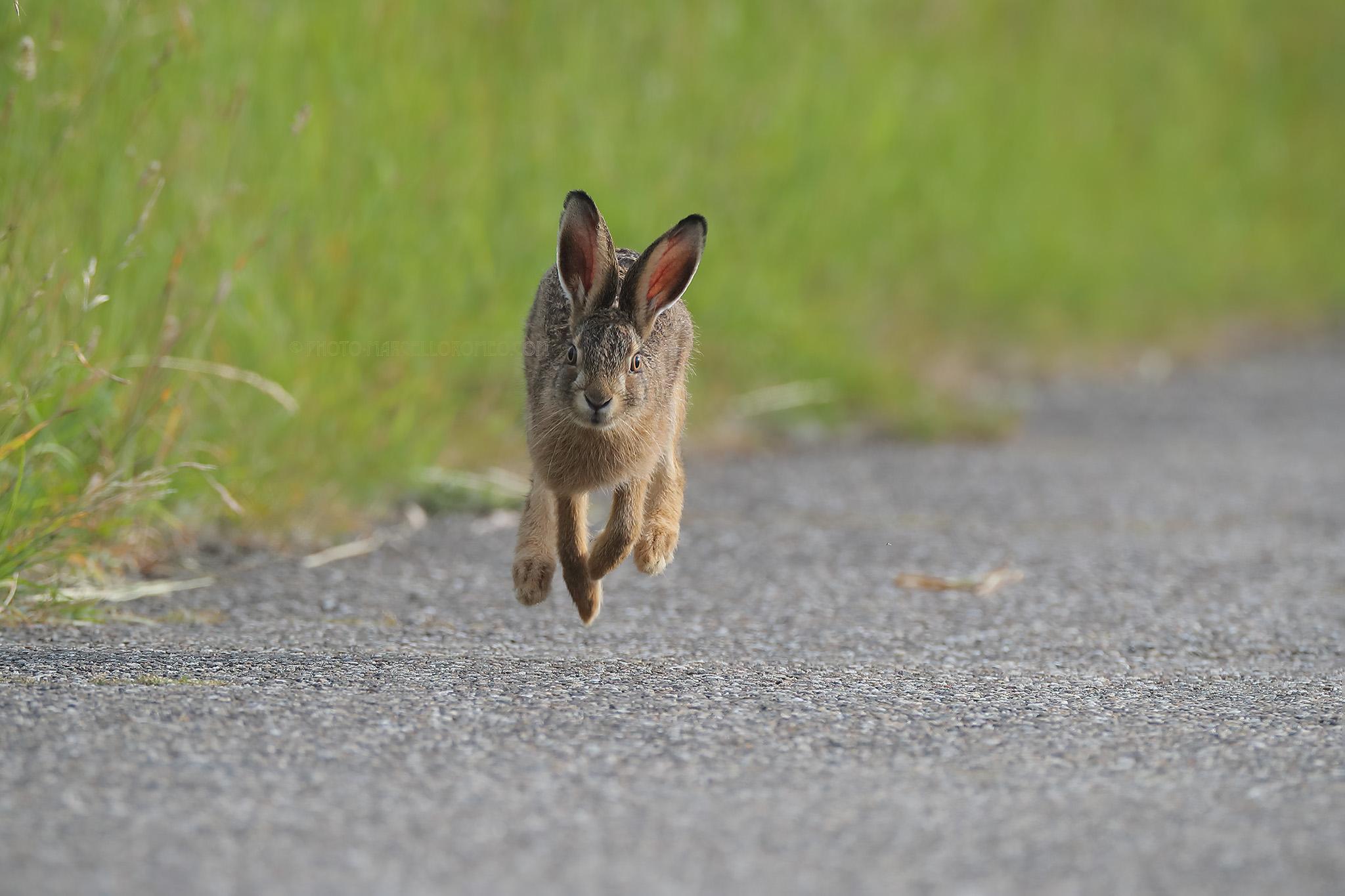 Haas; European Brown Hare; Lepus Europaeus