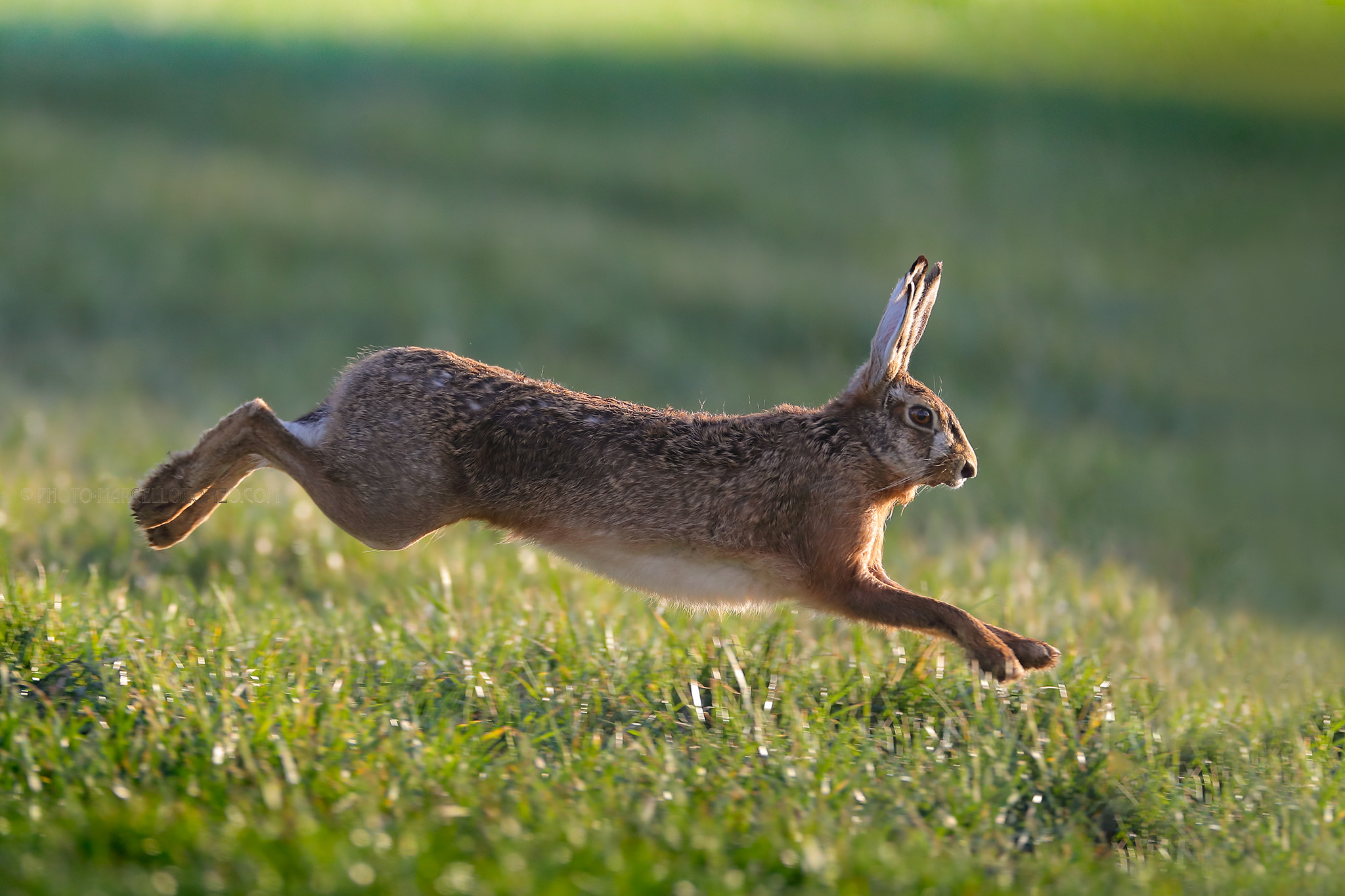 Haas; European Hare; Lepus Europaeus