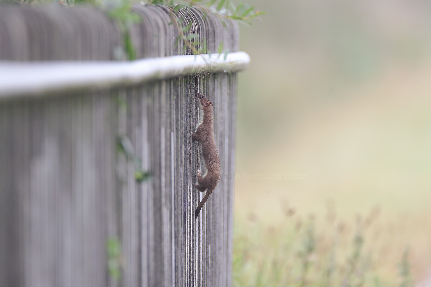 Hermelijn; Stoat; Mustela Erminea
