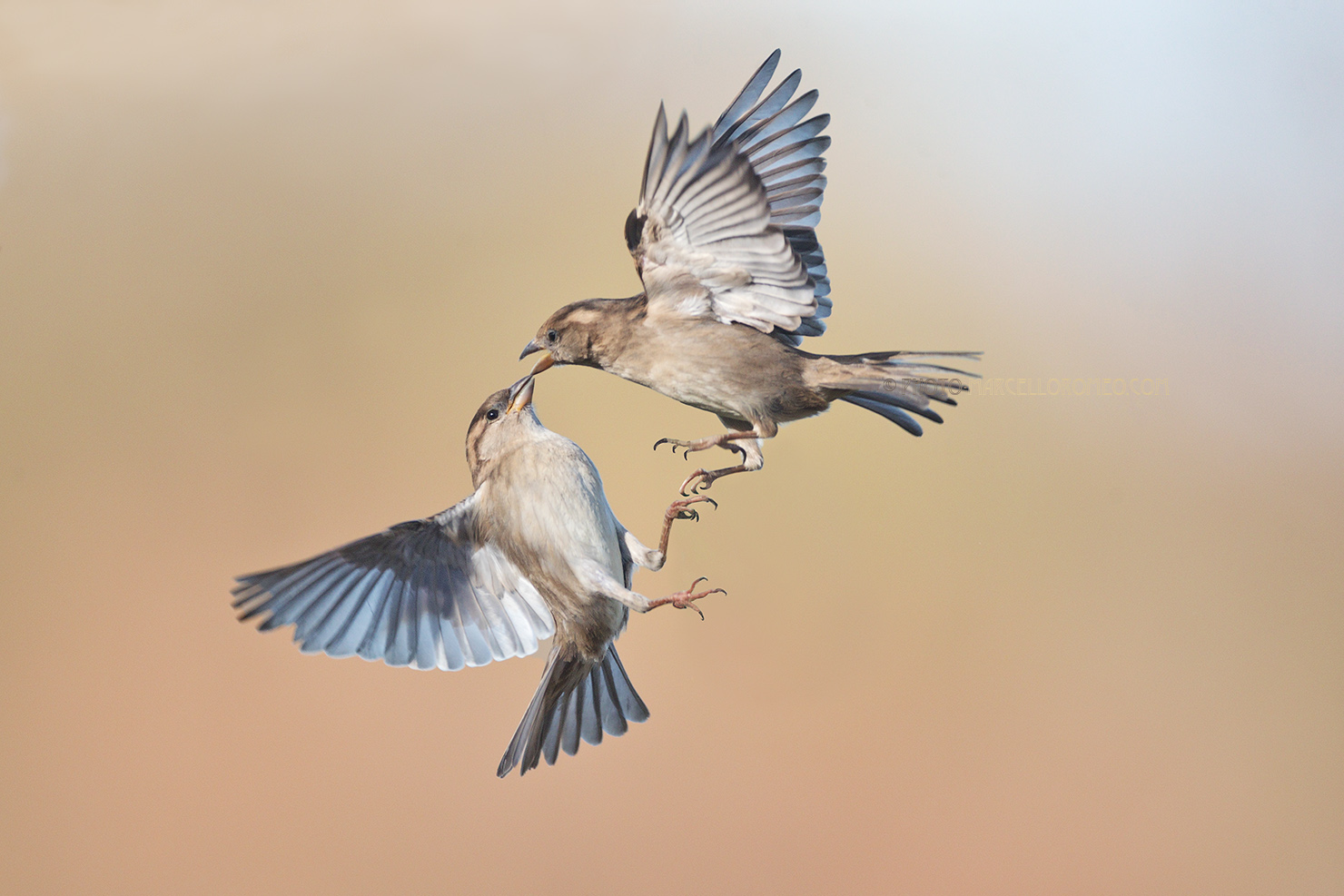 Huismus; House Sparrow; Passer Domesticus