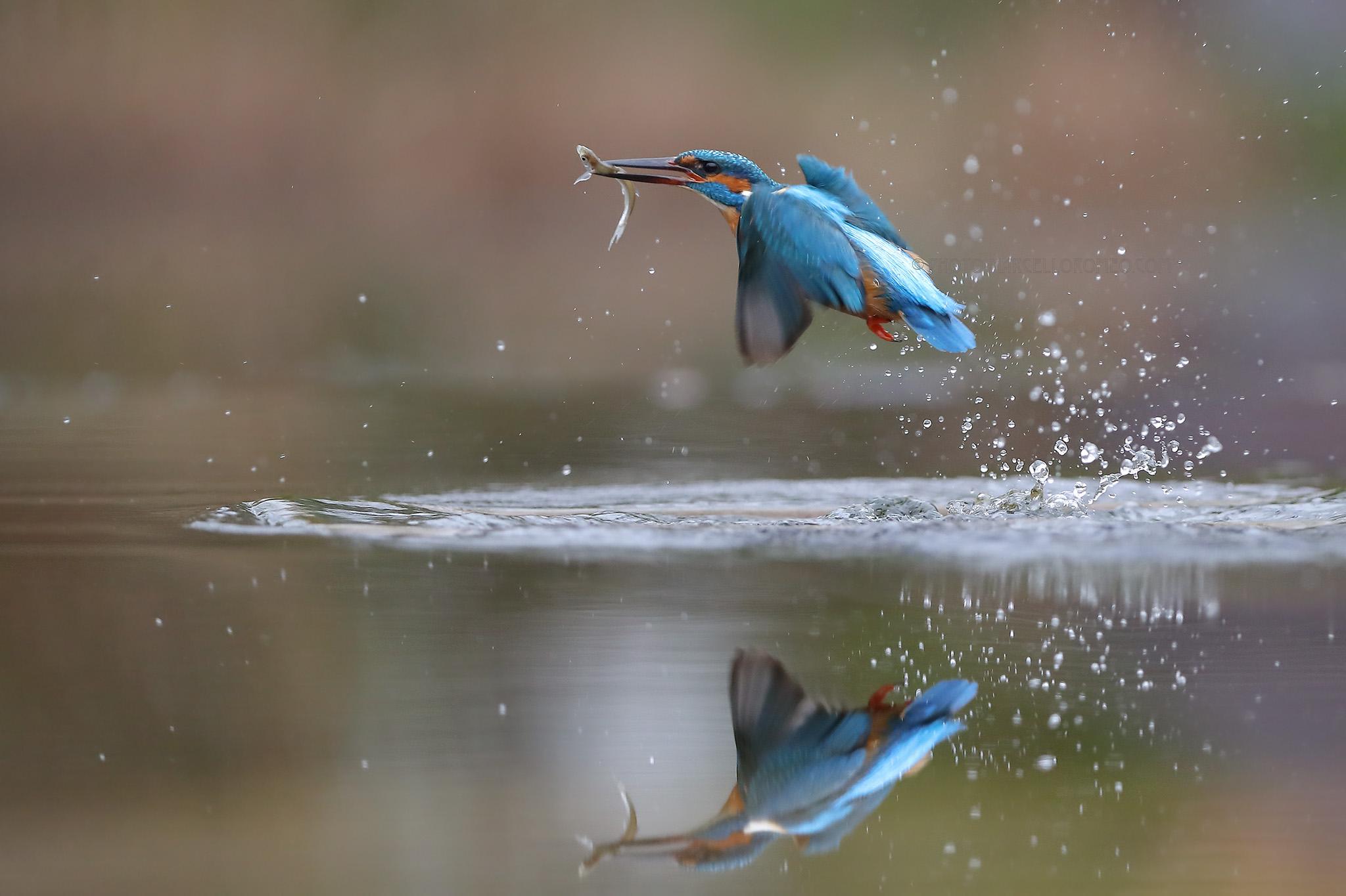 IJsvogel; Common Kingfisher; Alcedo Atthis