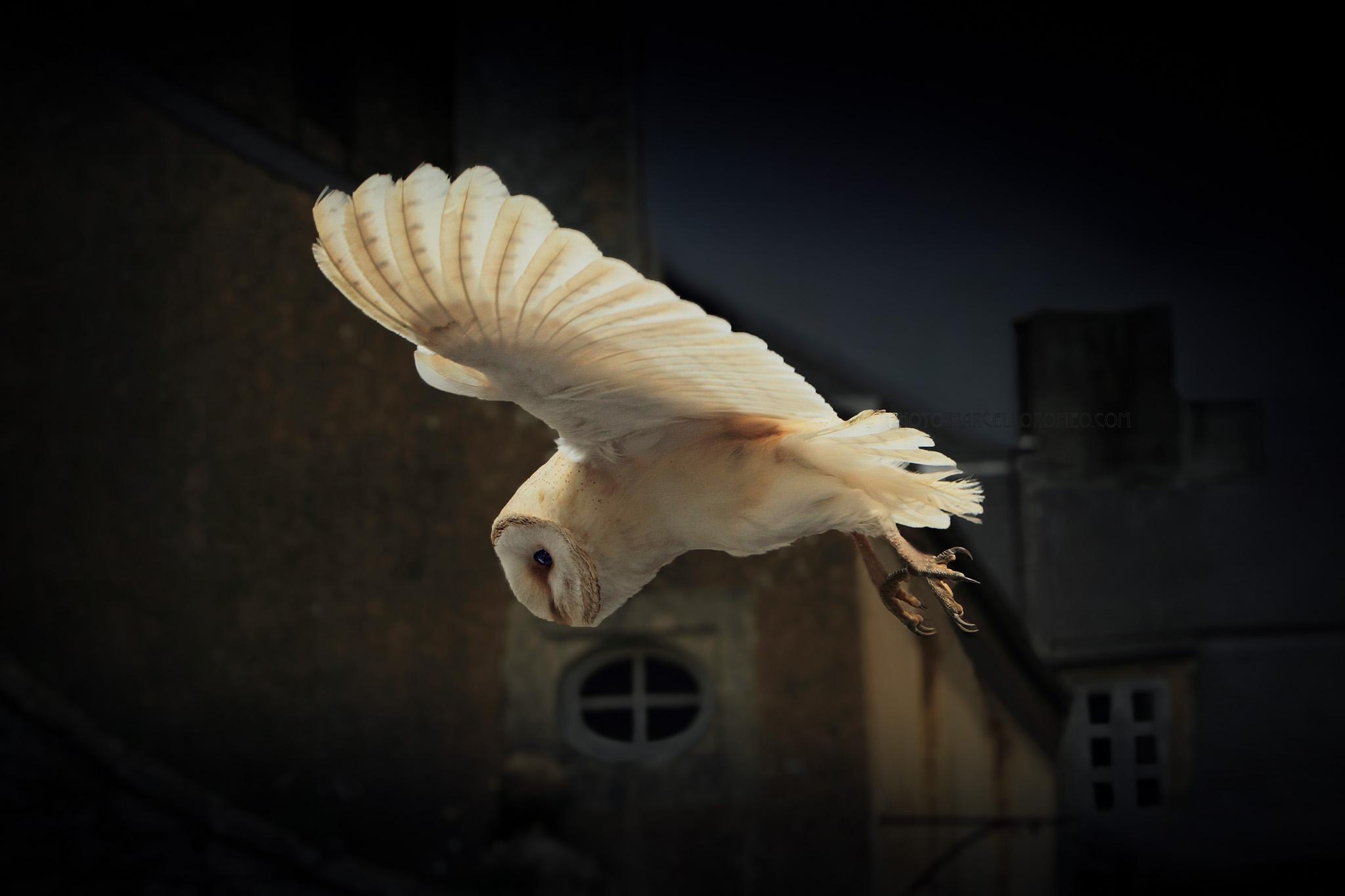 Kerkuil; Barn Owl; Tyto Alba