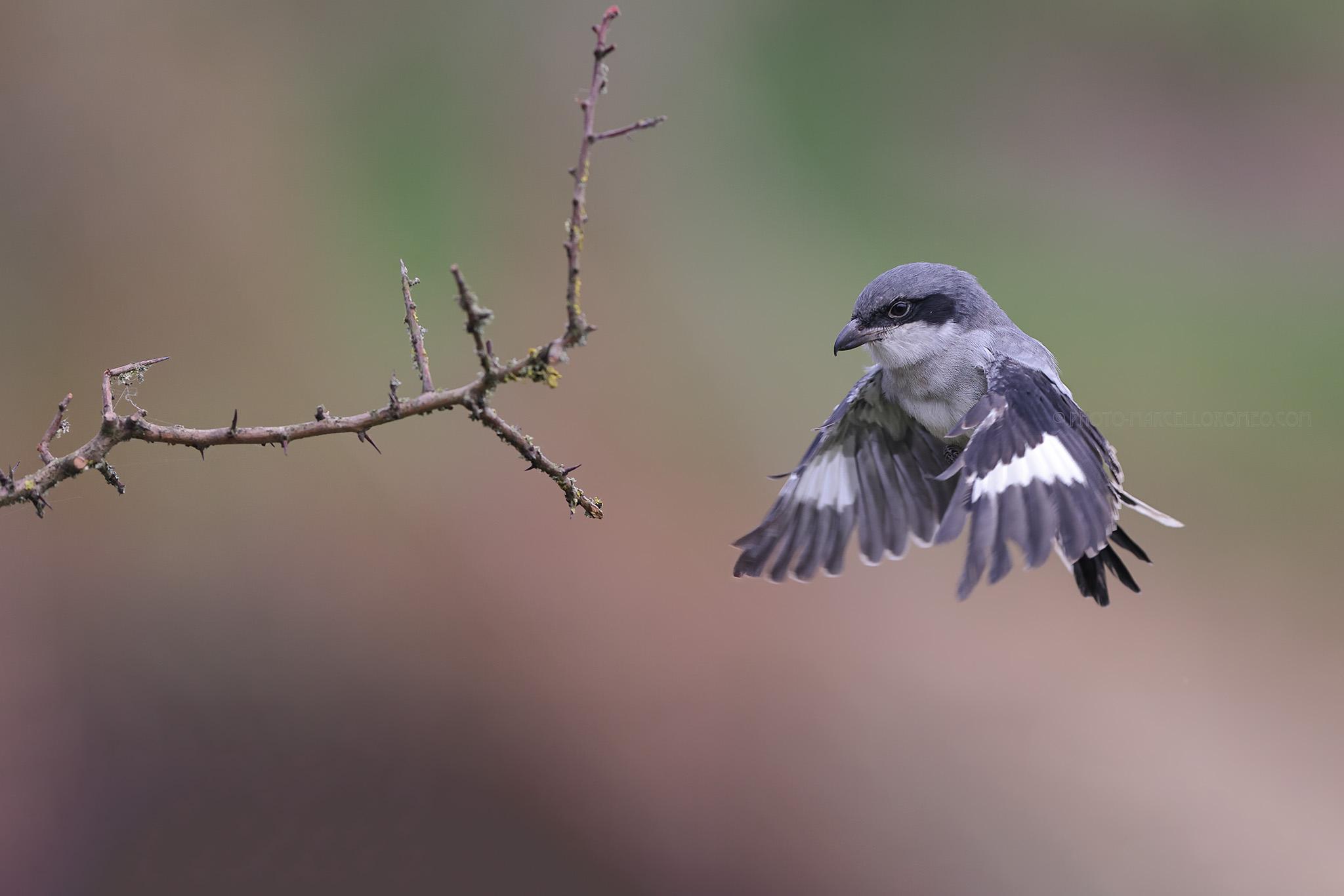 Klapekster; Great Grey Shrike; Lanius excubitor