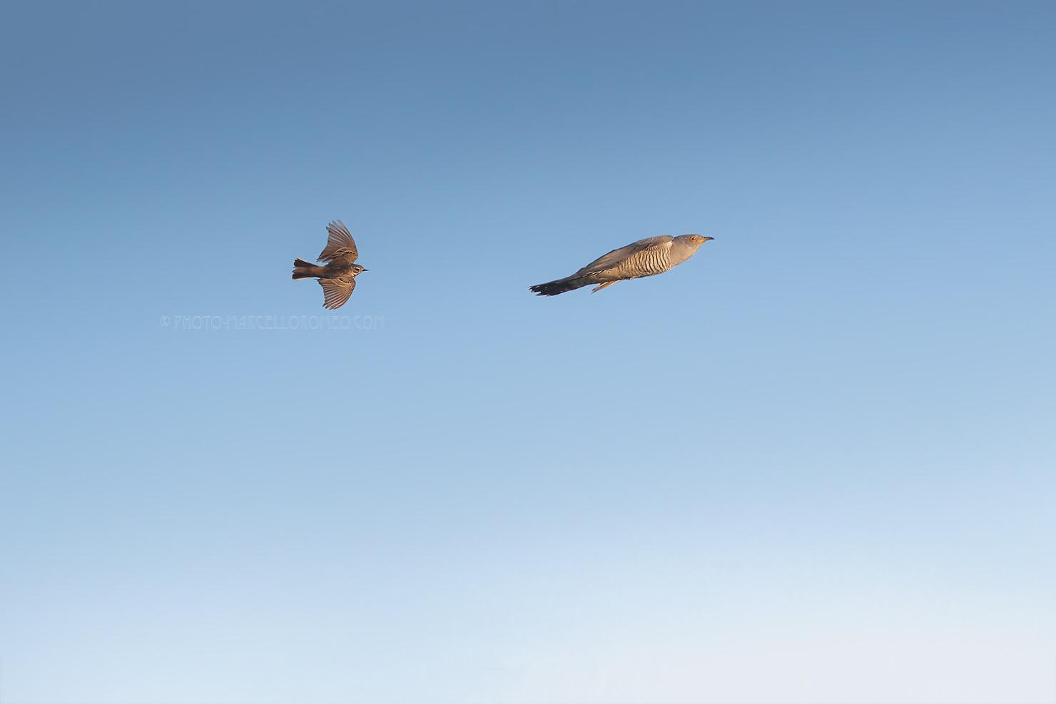 Koekoek; Common Cuckoo; Cuculus Canorus