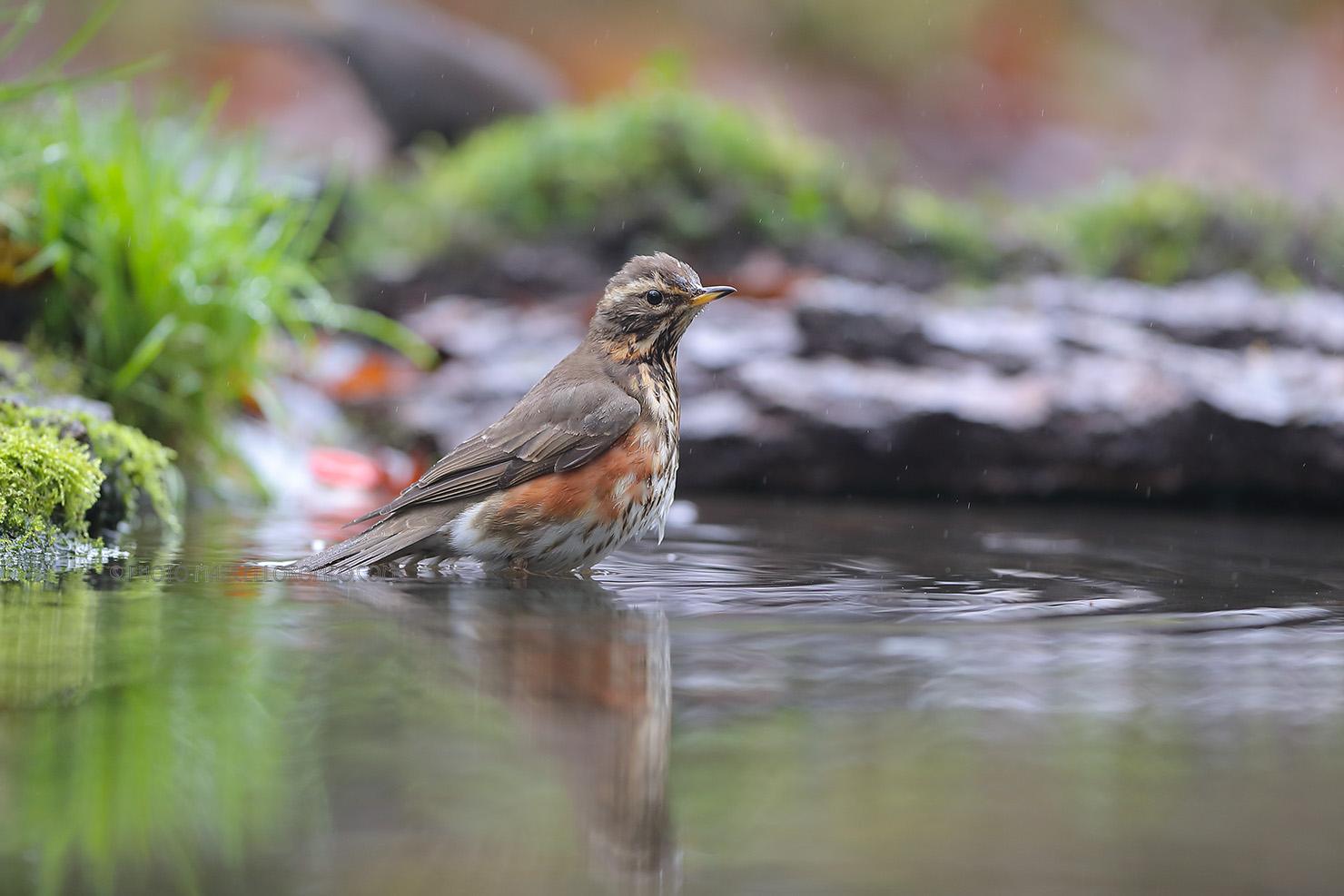 Koperwiek; Redwing; Turdus Iliacus