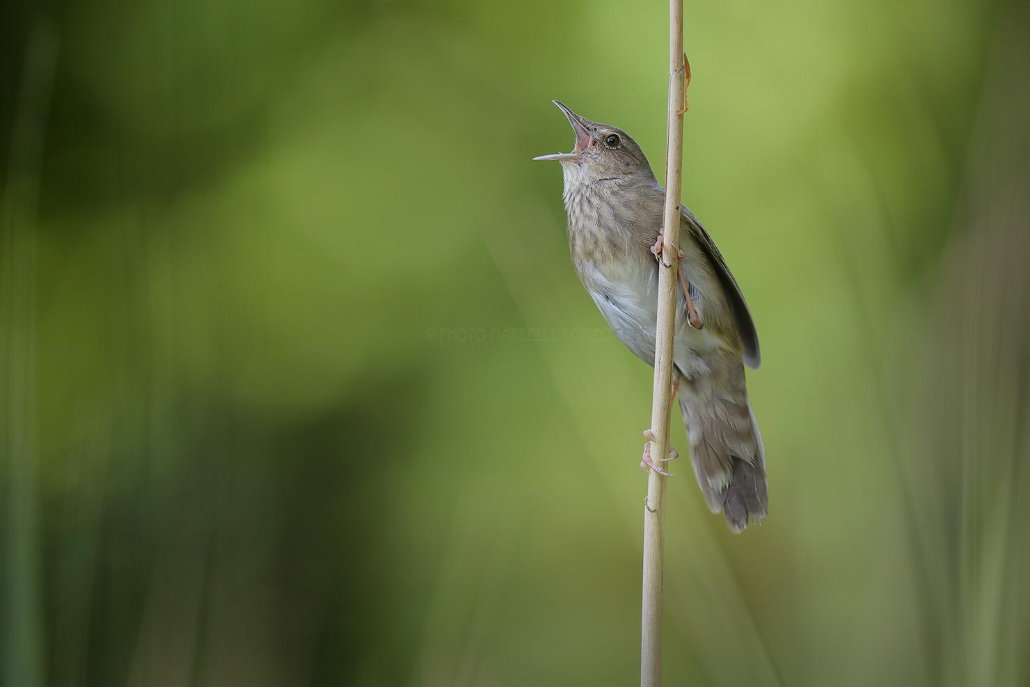 Krekelzanger; River Warbler; Locustella Fluviatilis