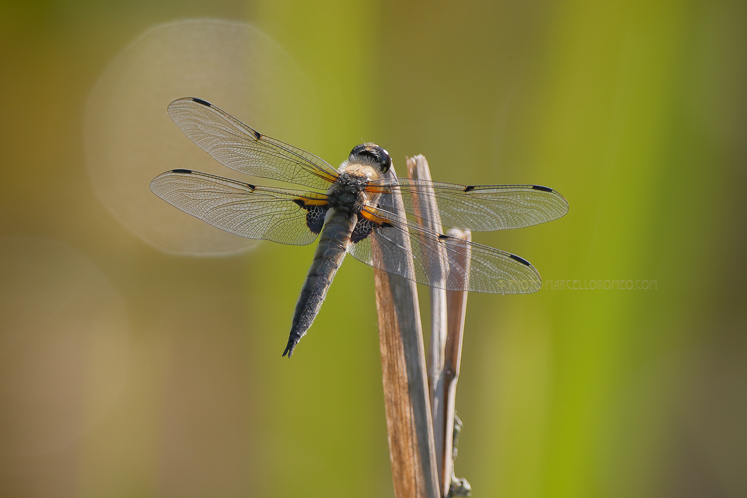 Viervlek; Four-spotted Chaser; Libellula Quadrimaculata