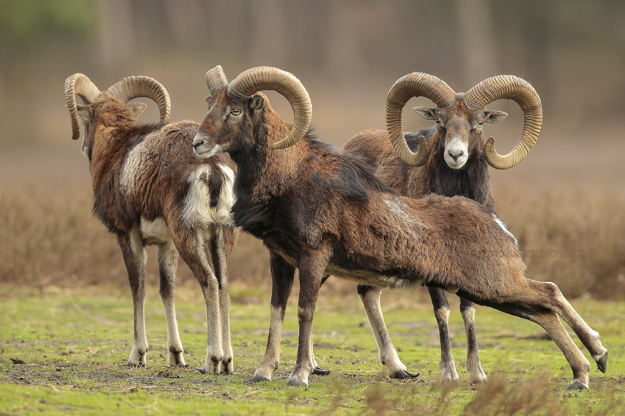 Moeflon; Mouflon; Ovis Orientalis Musimon