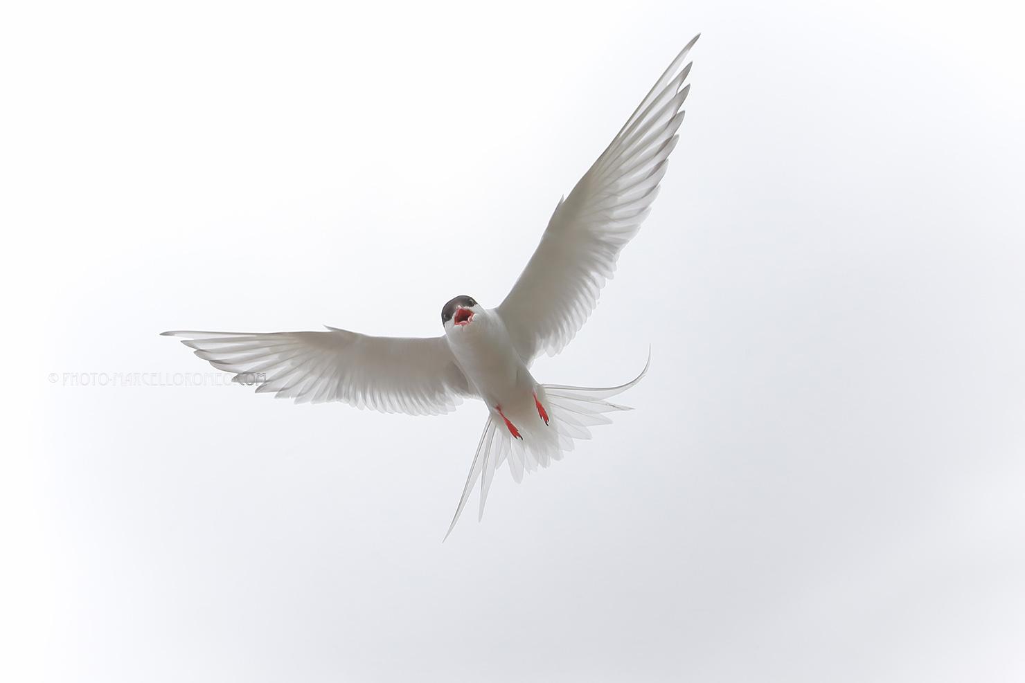 Noordse Stern; Arctic Tern; Sterna Paradisaea