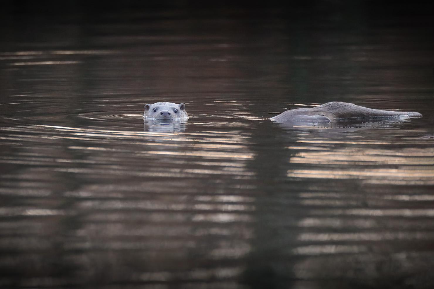 Otter; Eurasian Otter; Lutra Lutra