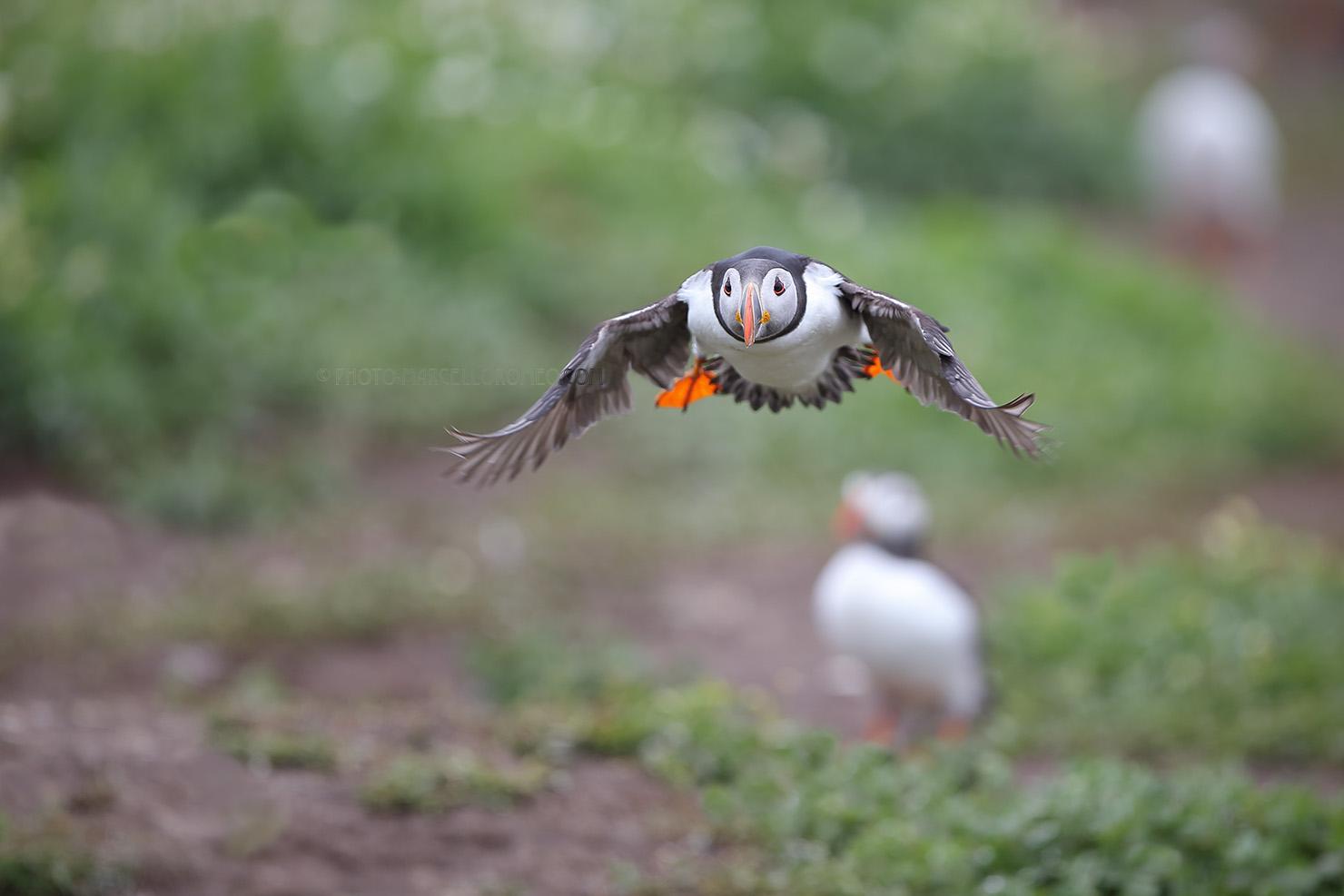 Papegaaiduiker; Atlantic Puffin; Fratercula Arctica