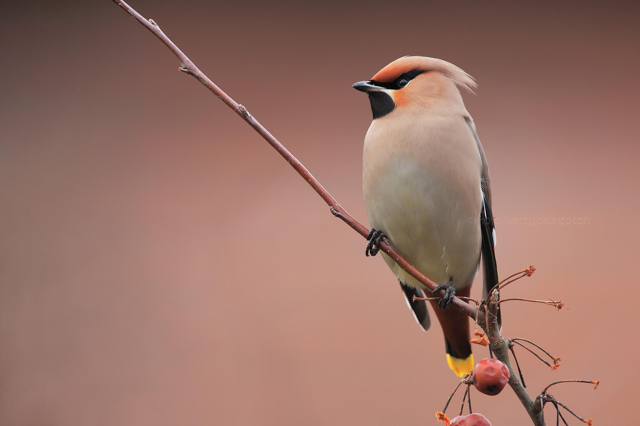 Pestvogel; Bohemian Waxwing; Bombycilla Garrulus