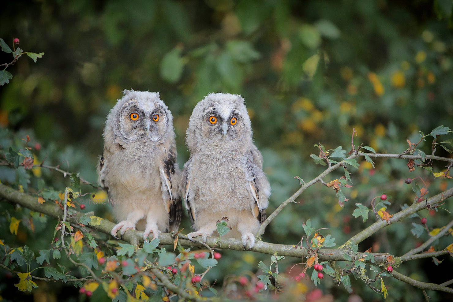Ransuil; Long-eared Owl; Asio Otus