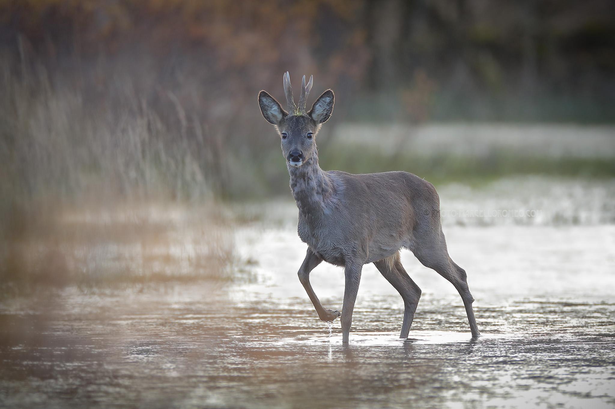 Ree; Roe Deer; Capreolus Capreolus