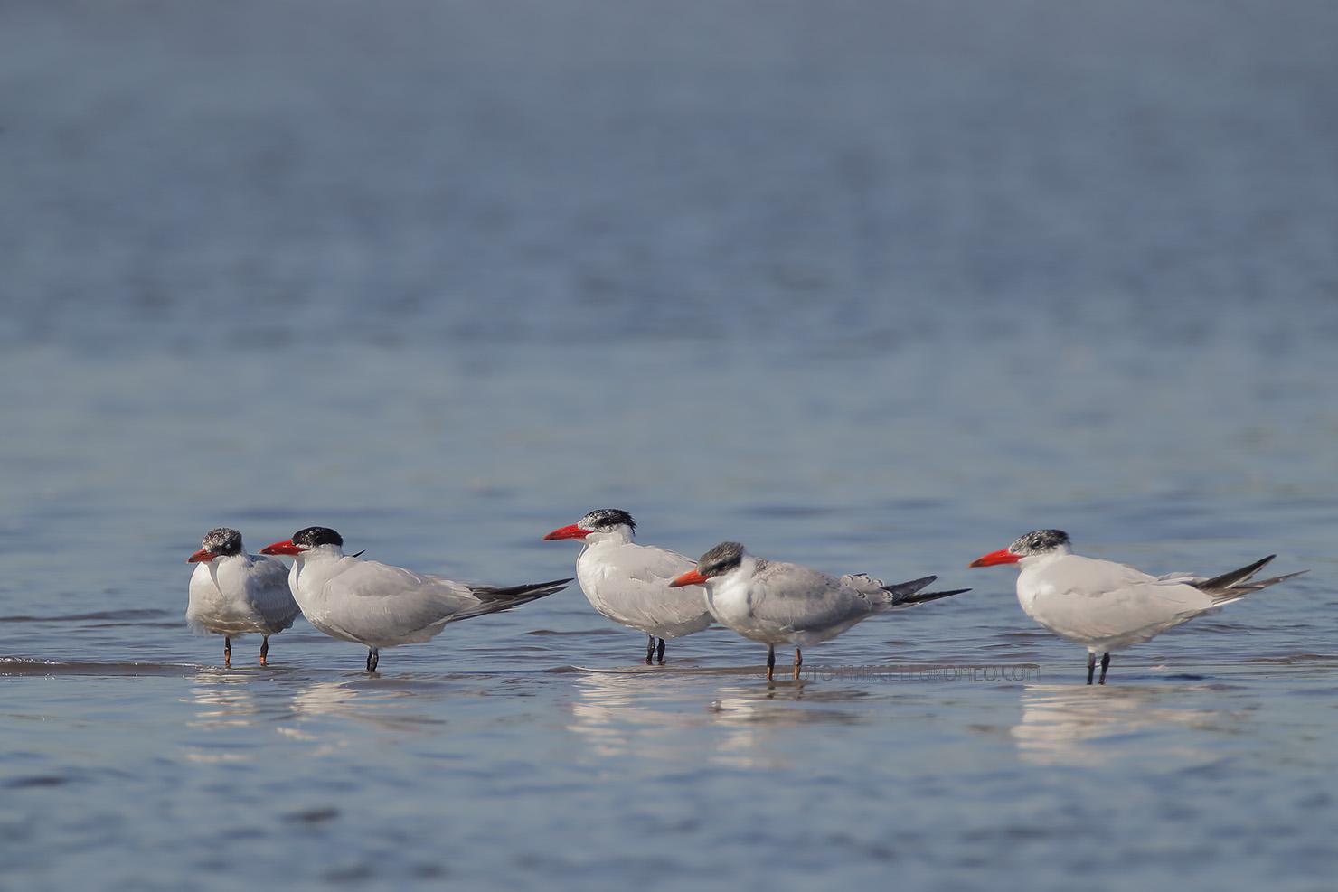 Reuzenstern; Caspian Tern; Hydroprogne Caspia