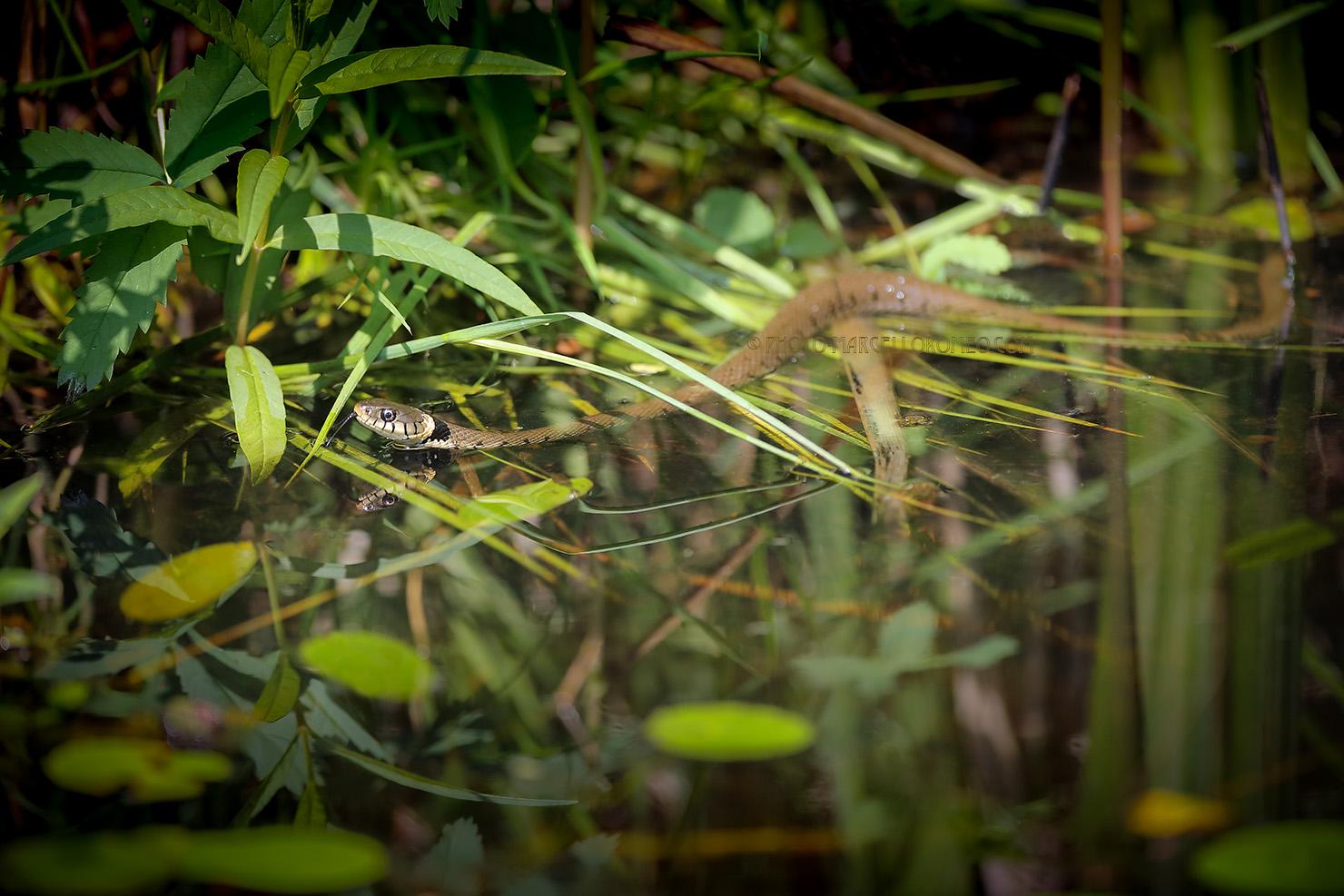 Ringslang; Grass Snake; Natrix Natrix