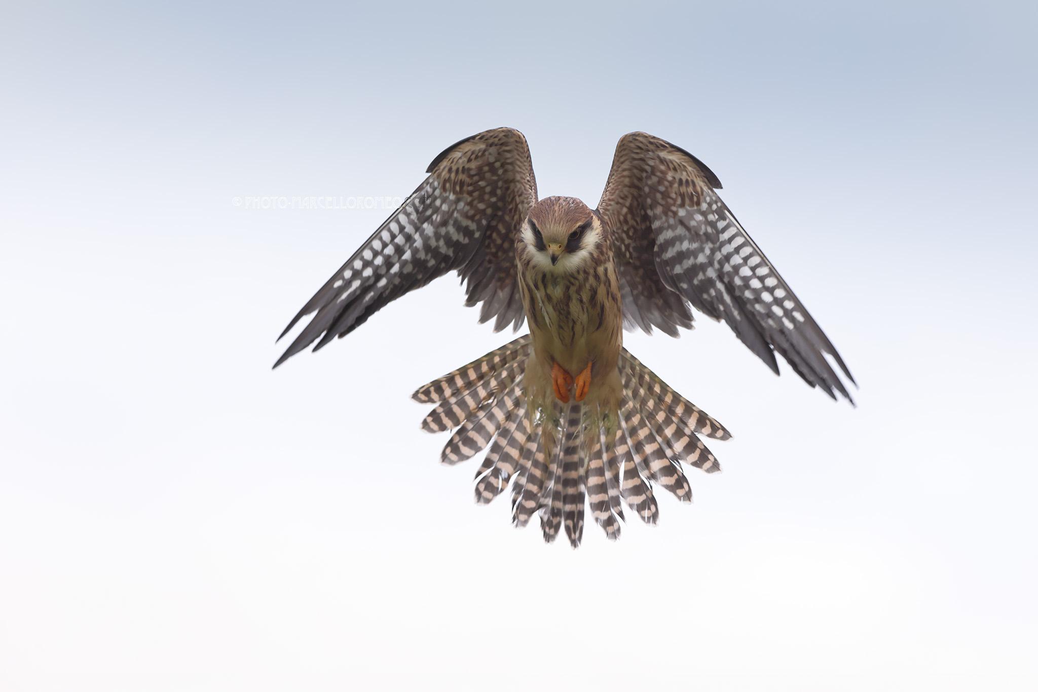Roodpootvalk; Red-footed Falcon; Falco Vespertinus