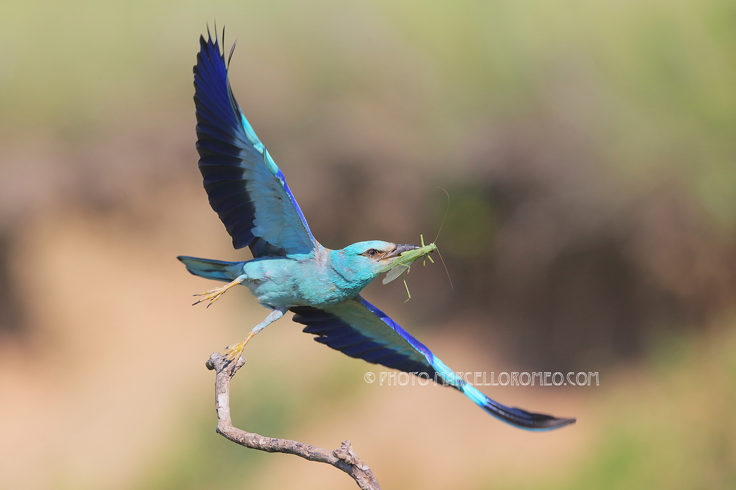 European Roller flies off a branch to bring food to the nest