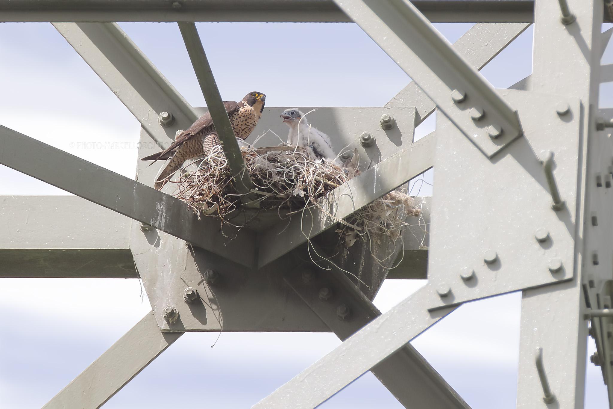 Slechtvalk; Peregrine Falcon; Falco Peregrinus