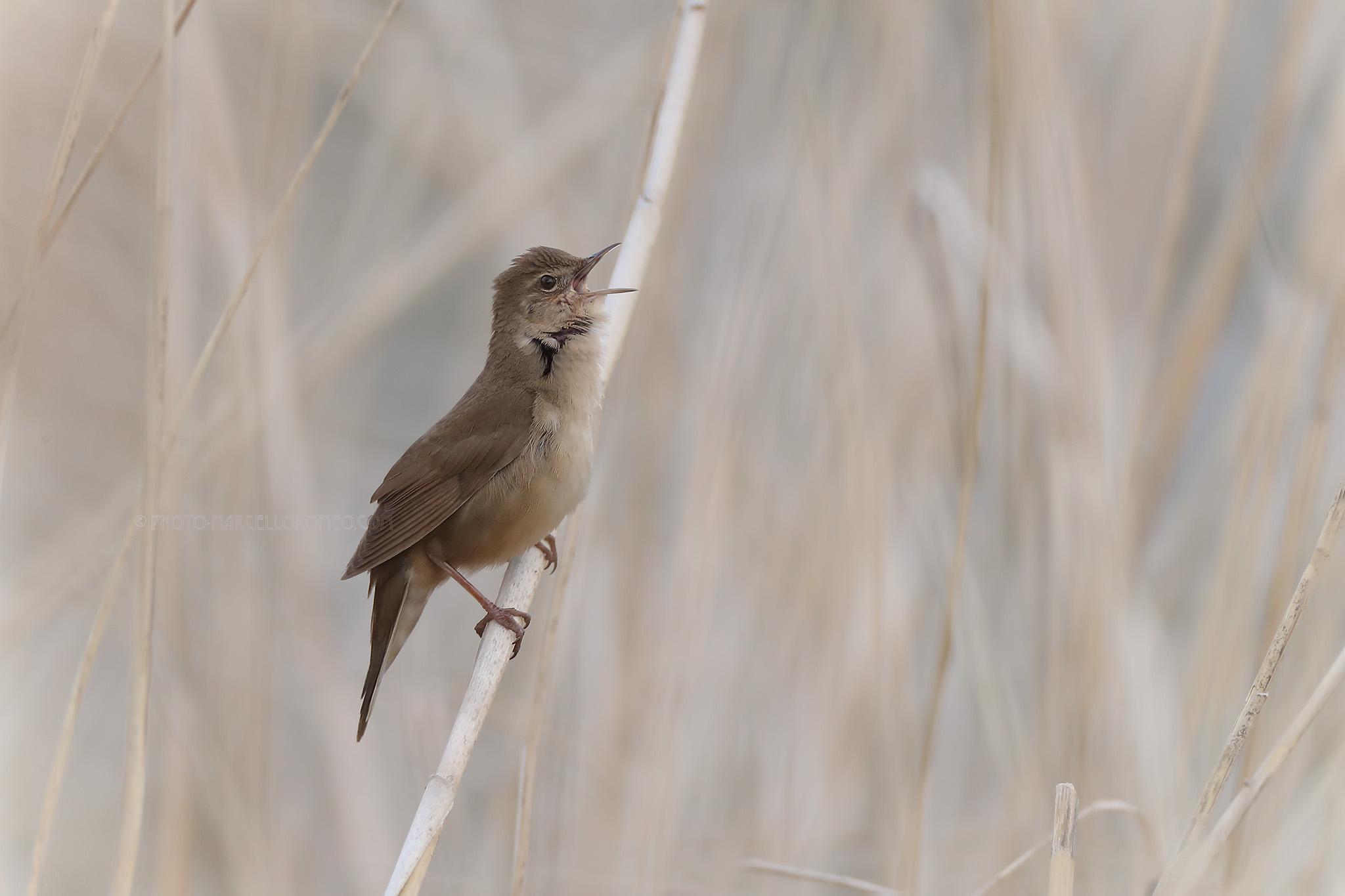 Snor; Savi's Warbler; Locustella Lusciniodes